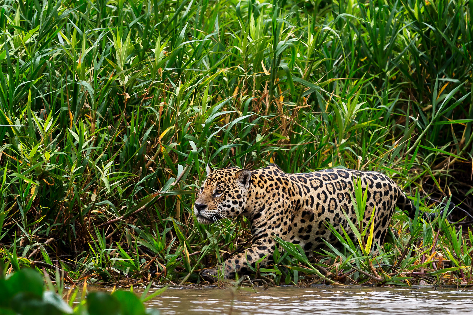 Jaguar Fine Art Photography A Limited Edition photograph of Jaguar appearing to make a stealth move at The Pantanal in Brazil...