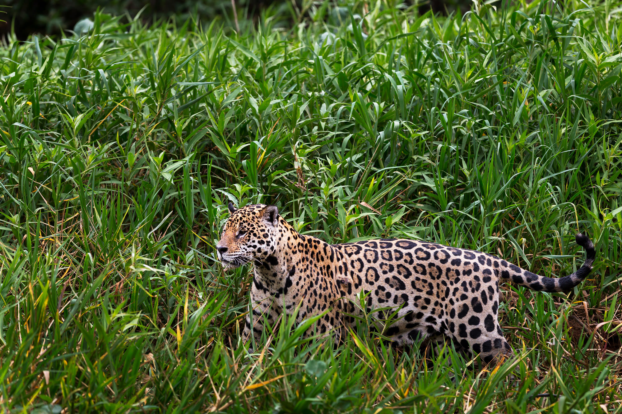 Jaguar, Brazil, Pantanal, limited edition, photograph, fine art, wildlife, photo