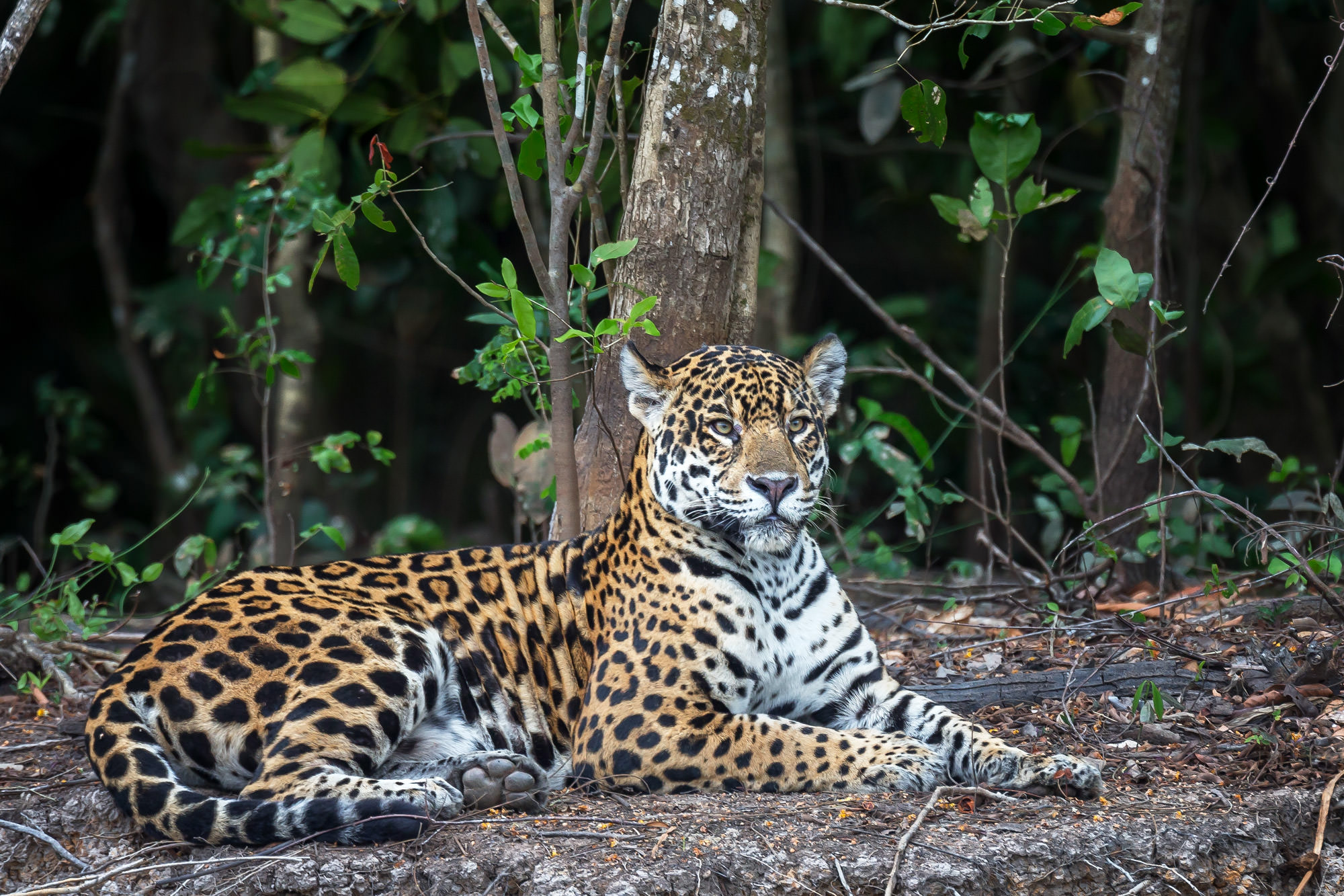 Jaguar Fine Art Photography A Limited Edition photograph of a Jaguar that appears to be posing for a portrait at The Pantanal...