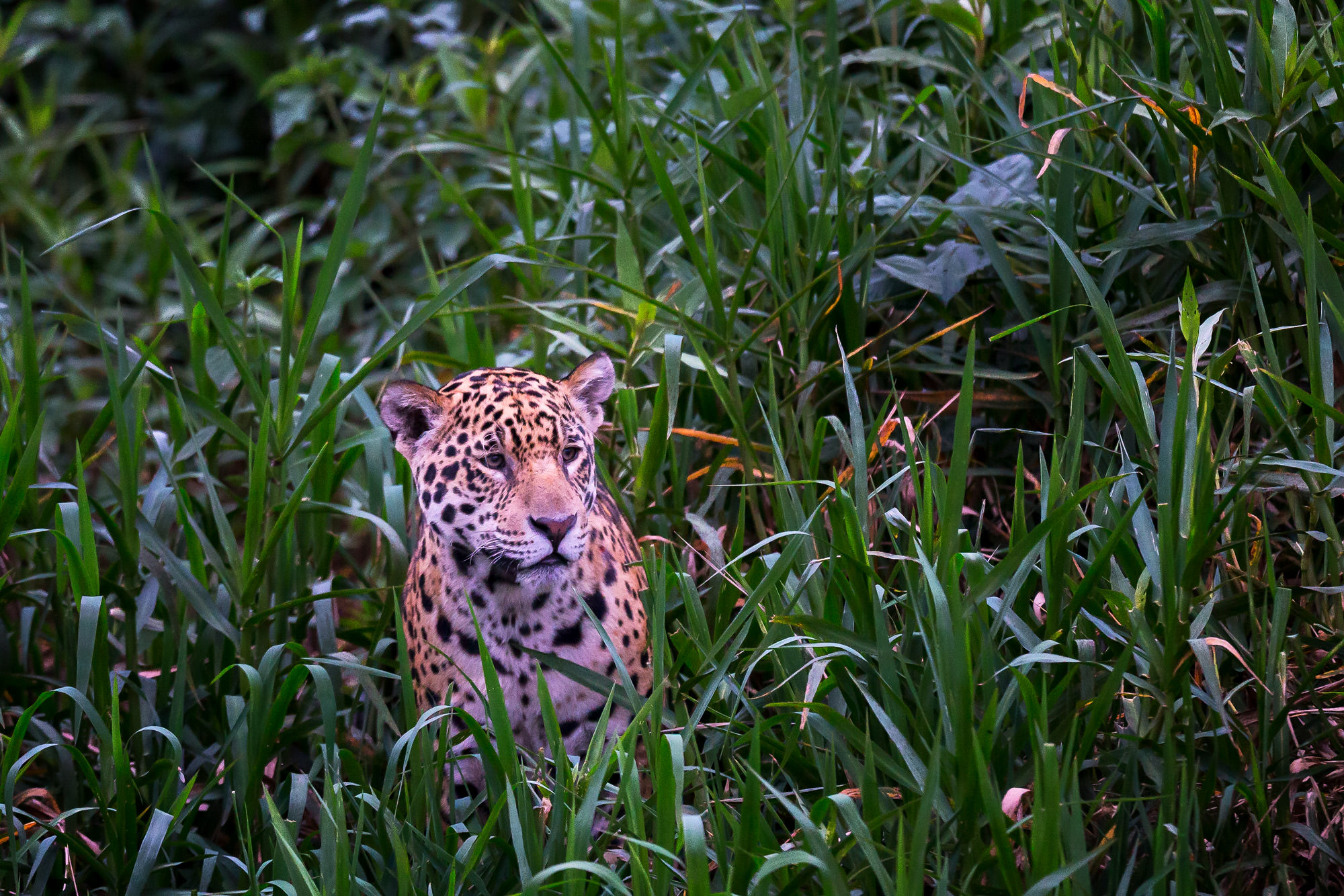 Jaguar Fine Art Photography A Limited Edition photograph of a Jaguar in the tall grass, a Cat In The Grass, at The Pantanal in...
