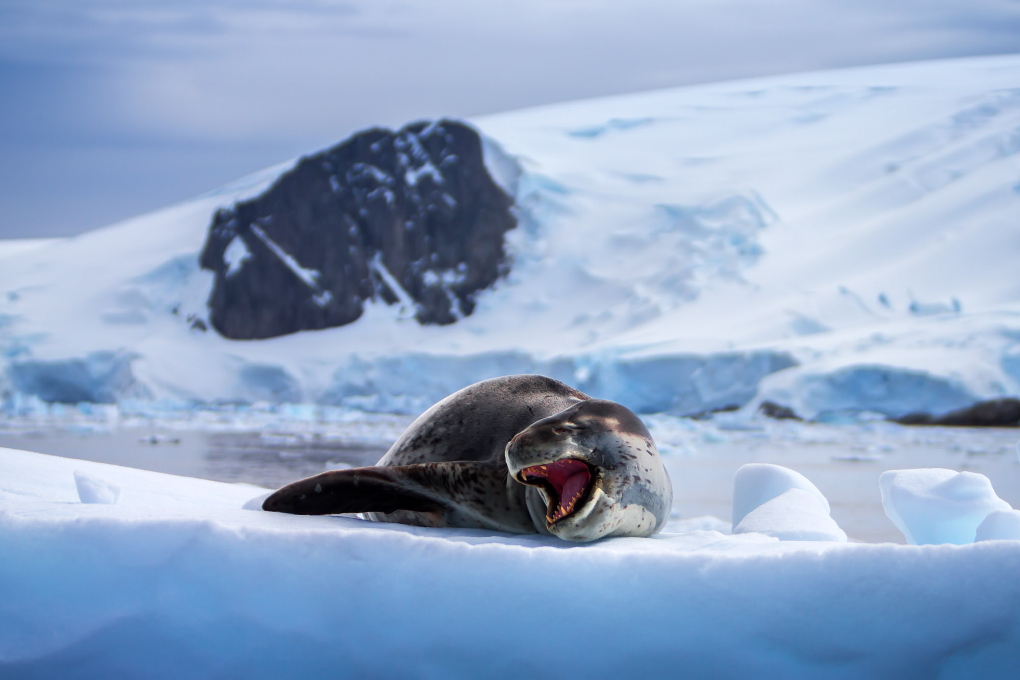 Seal, Leopard Seal, Antarctica, limited edition, photograph, fine art, wildlife, photo