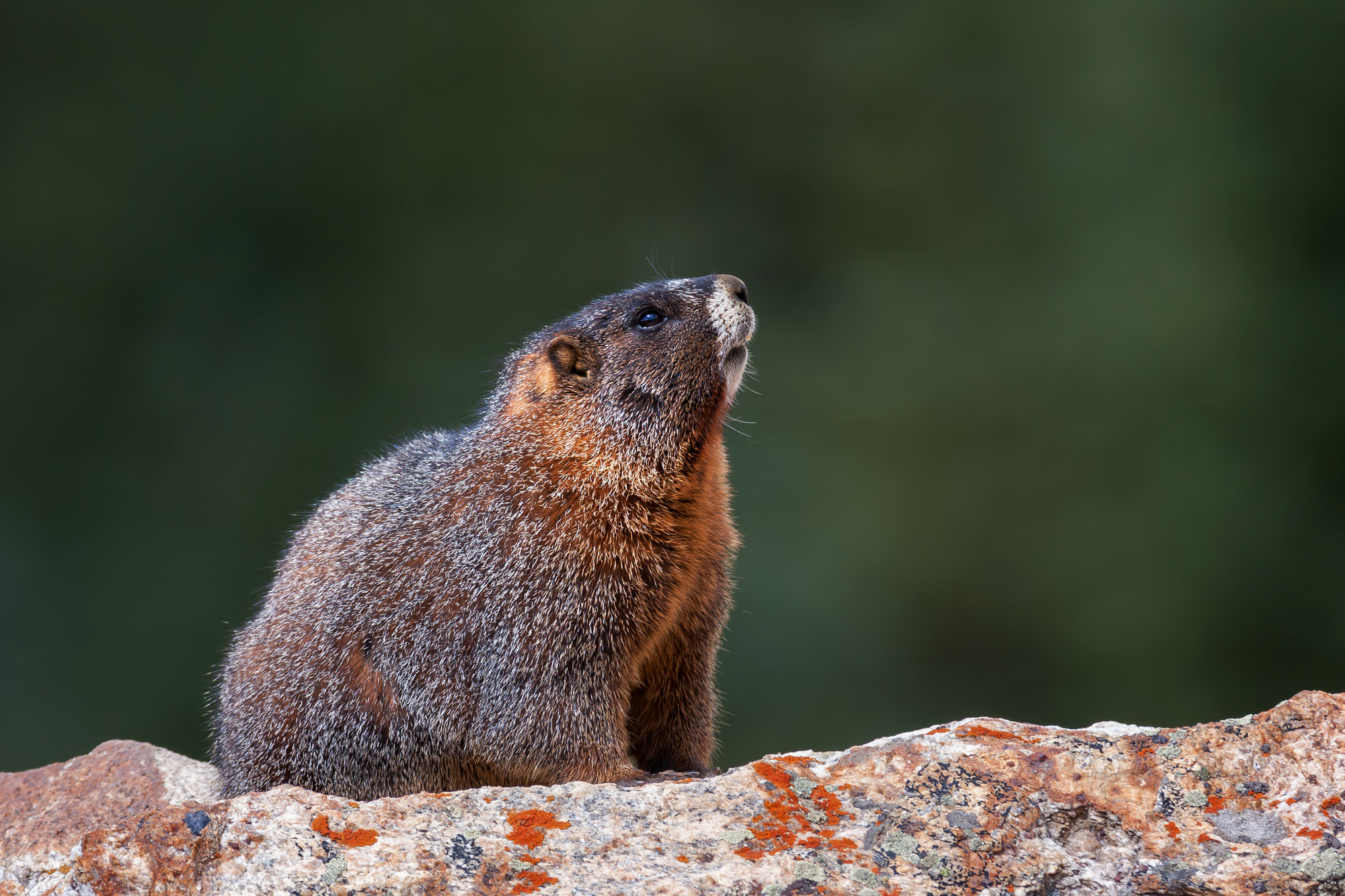Marmot Fine Art Photography A Limited Edition photograph of a Marmot on a rock looking up to unknow objects at Rocky Mountain...