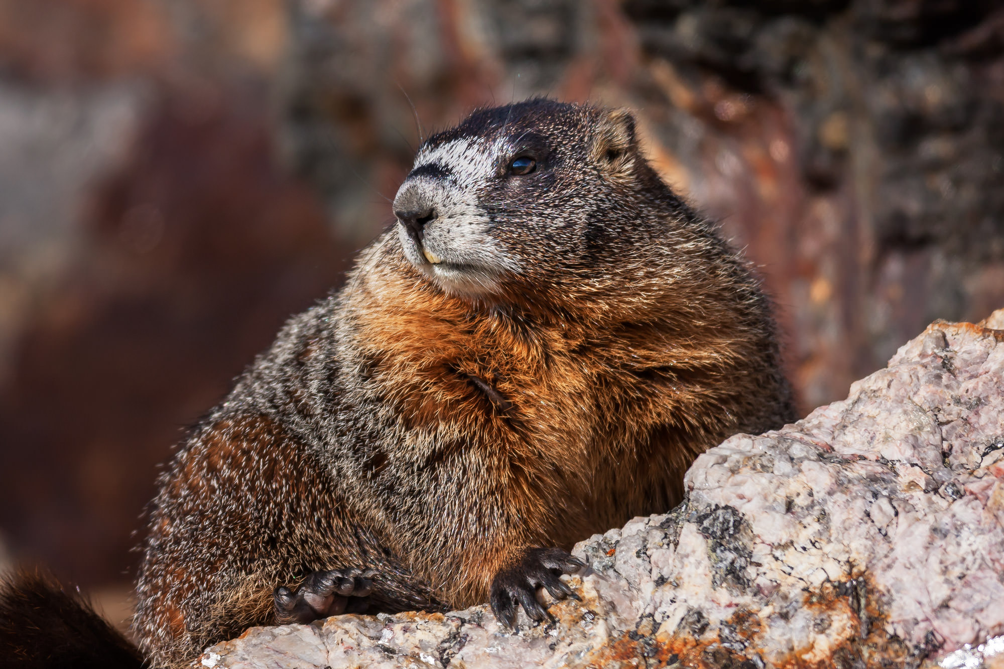 Marmot, Colorado, Rocky Mountain, limited edition, photograph, fine art, wildlife, photo
