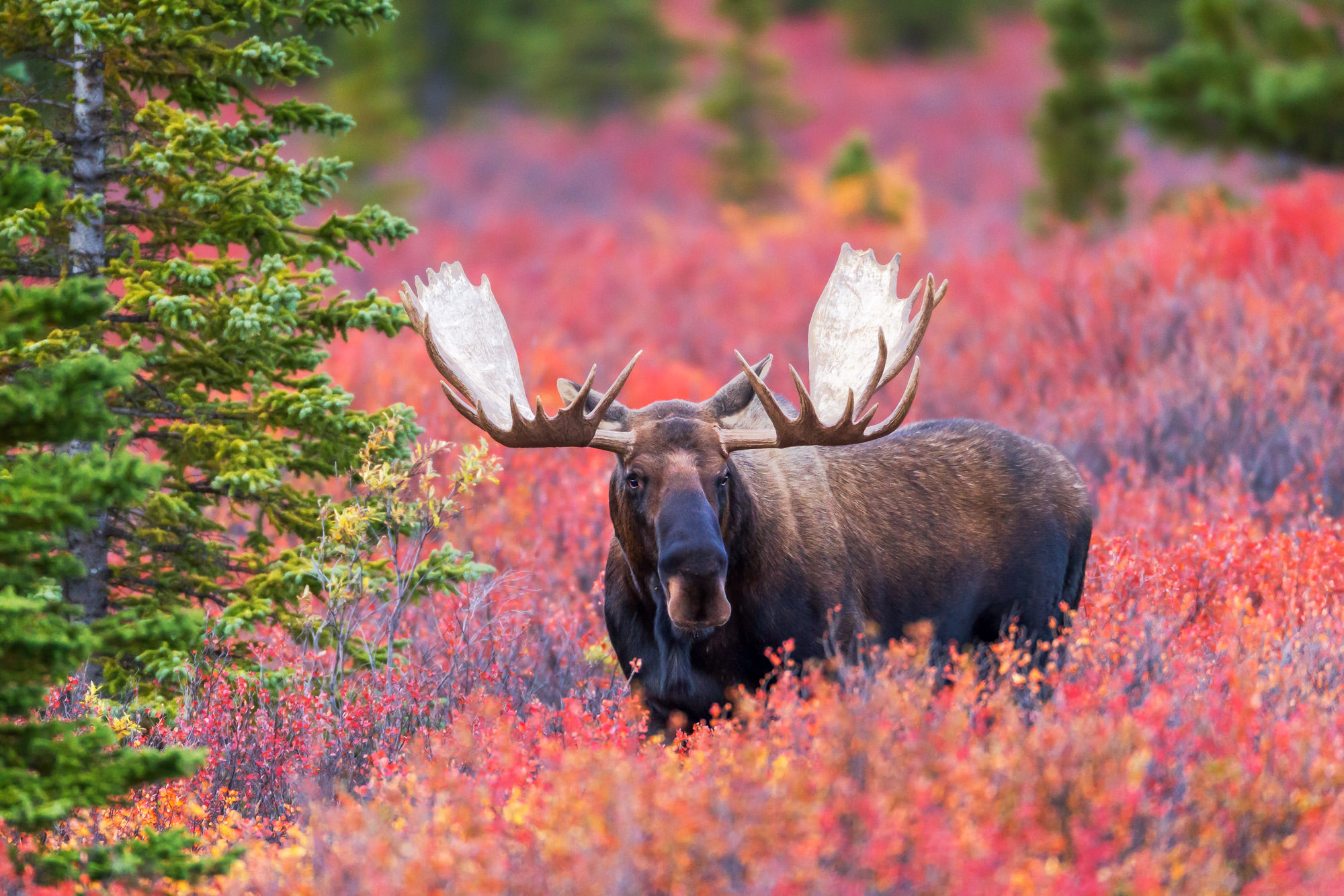 Moose, Bull Moose, Alaska, Denali, limited edition, photograph, fine art, wildlife, photo