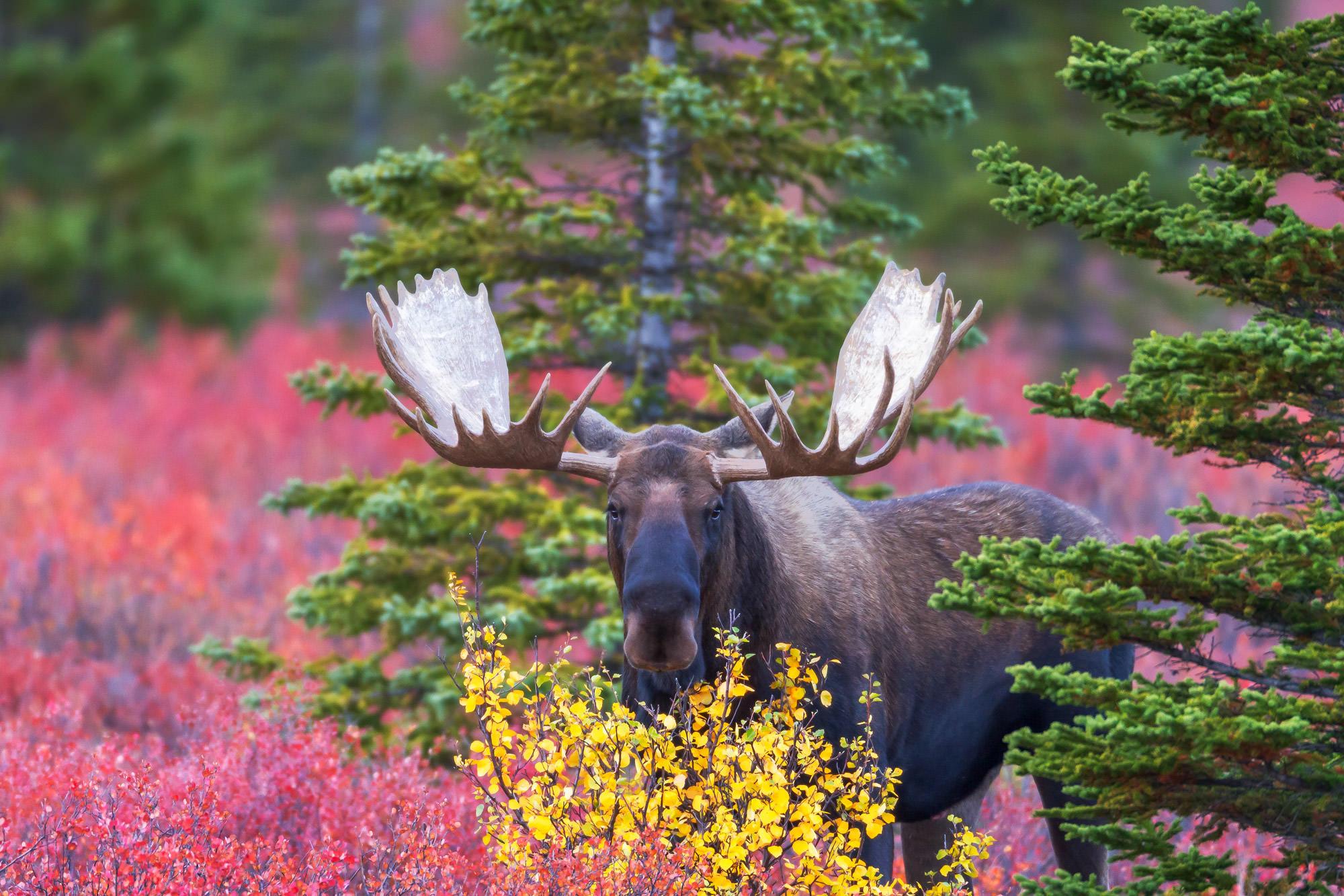 Moose, Bull Moose, Alaska, Denali, limited edition, photograph, fine art, wildlife, photo