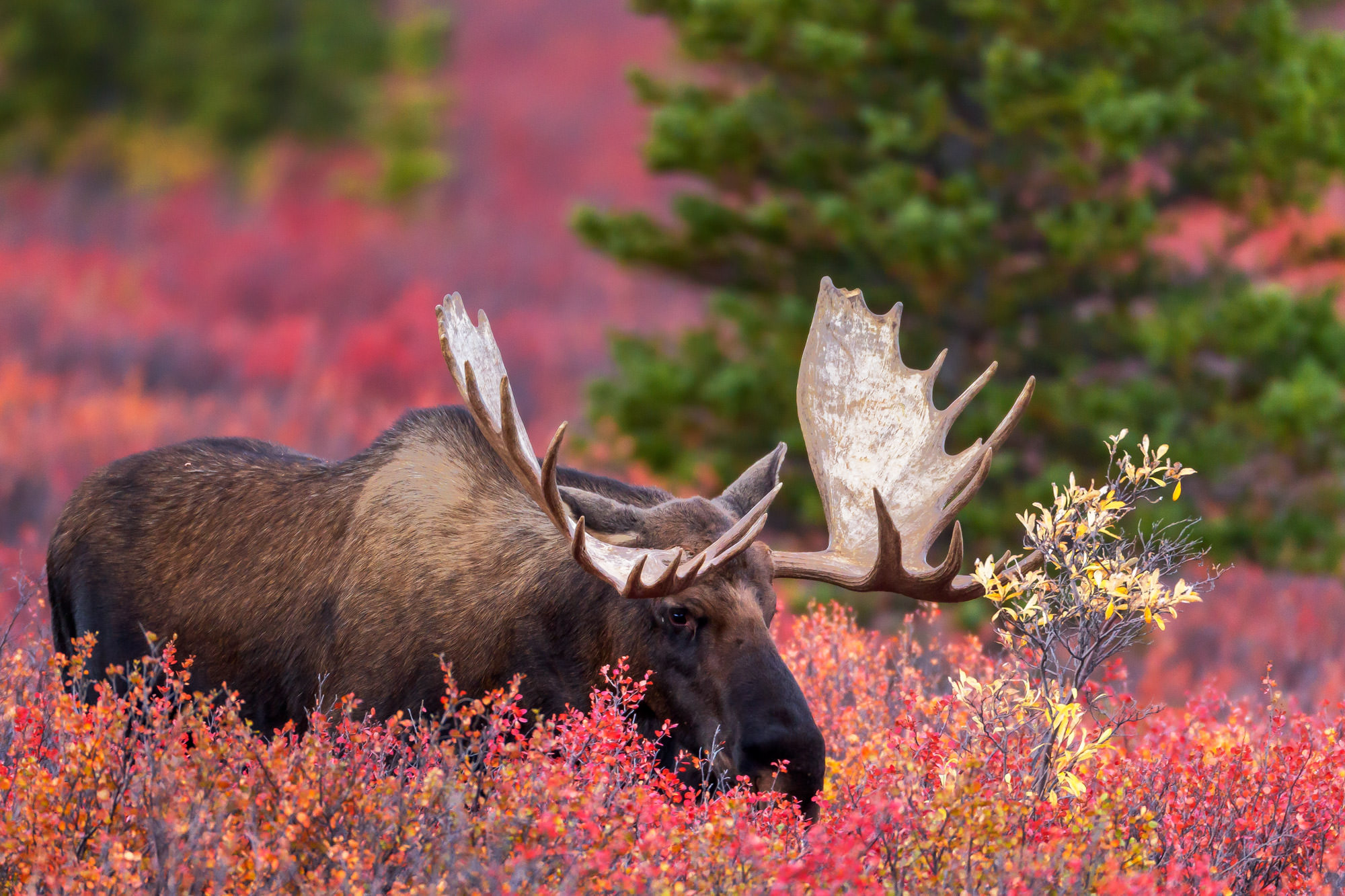 Moose Fine Art Photography A Limited Edition photograph of a Bull Moose deep in the fall color willows at Denali National Park...