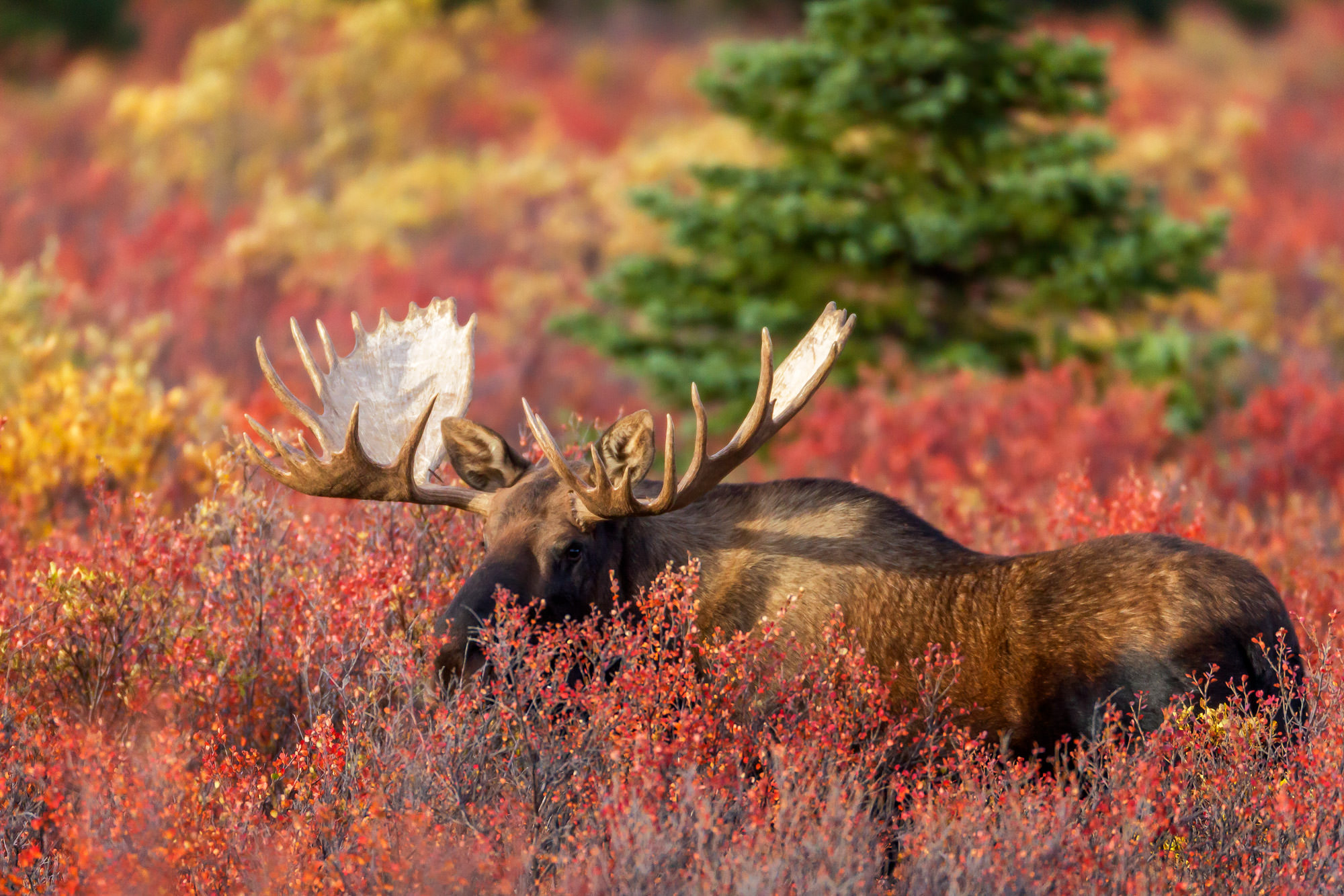 Moose Fine Art Photography A Limited Edition photograph of a Bull Moose that appears to be, but is not really hiding at Denali...