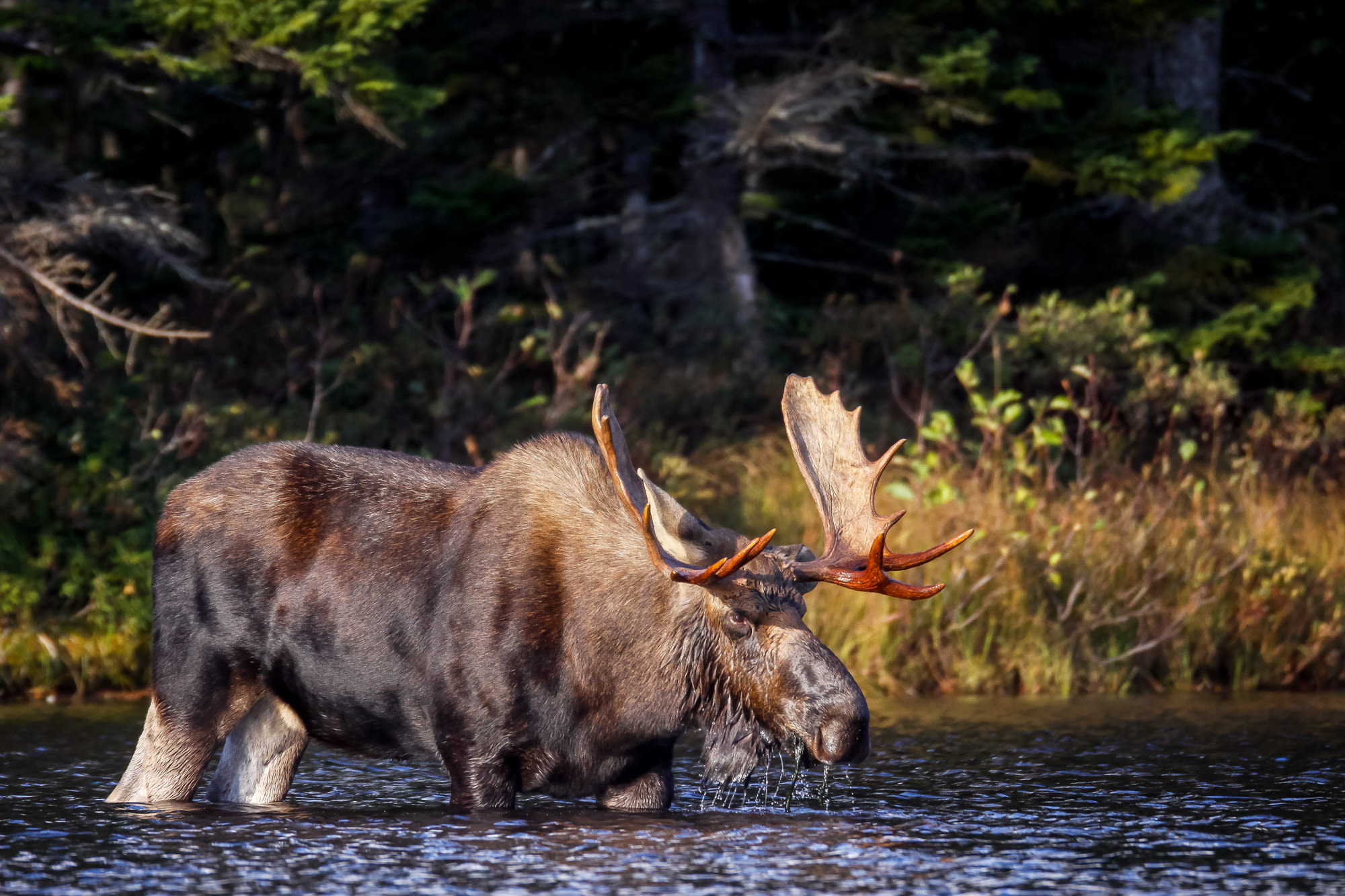 Moose, Bull Moose, Maine, Baxter, limited edition, photograph, fine art, wildlife, photo