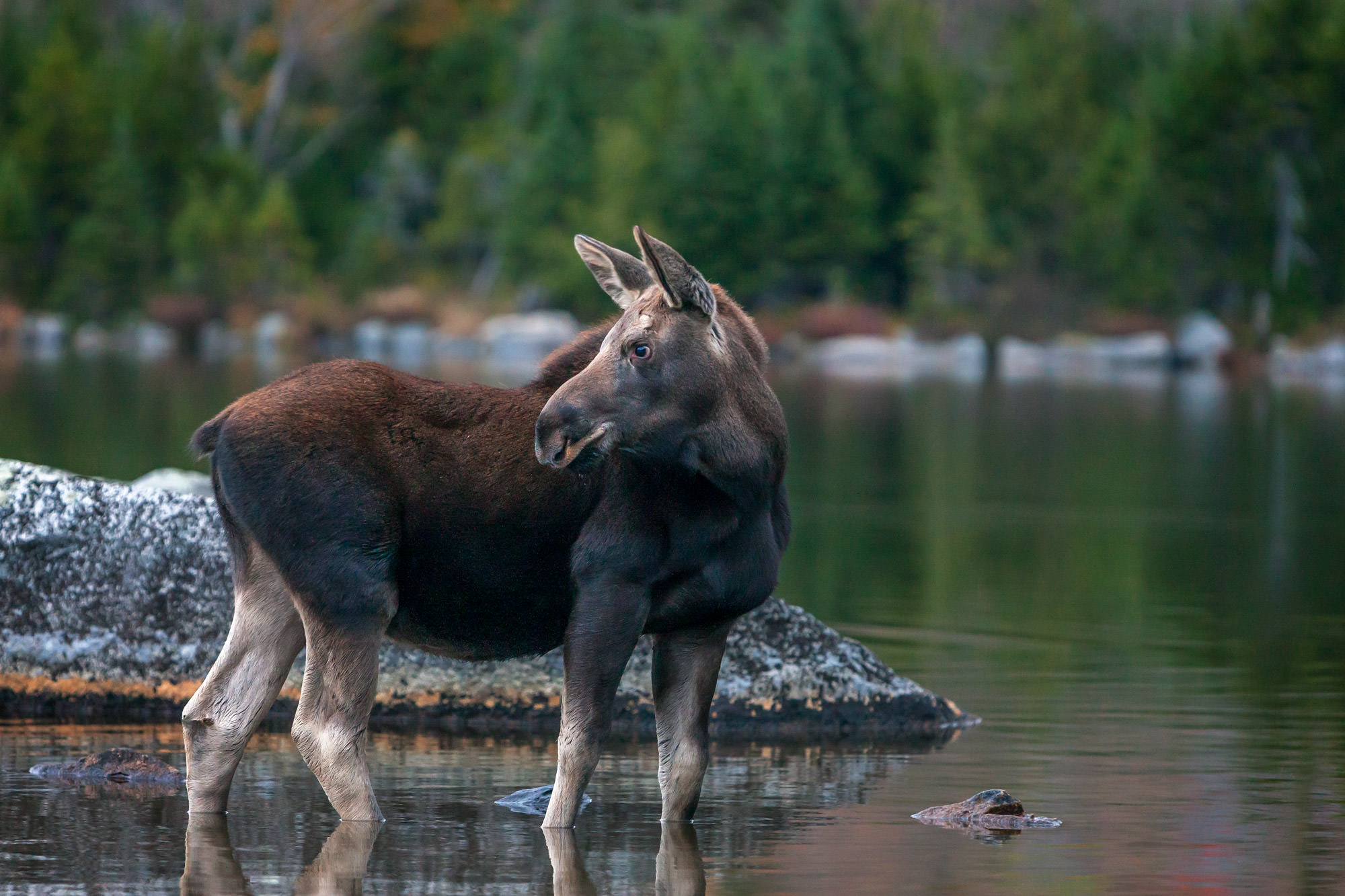 Moose, Bull Moose, Maine, Baxter, limited edition, photograph, fine art, wildlife, photo