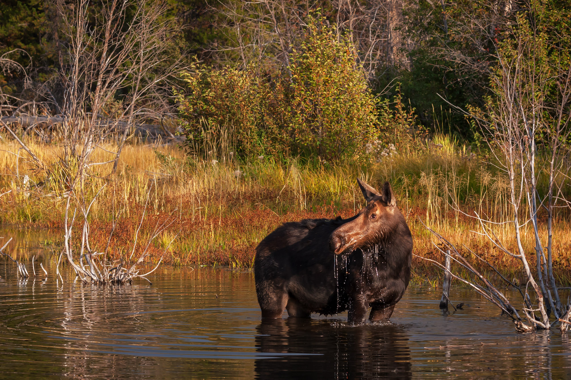 Moose, Cow Moose, Wyoming, Grand Teton, limited edition, photograph, fine art, wildlife, photo