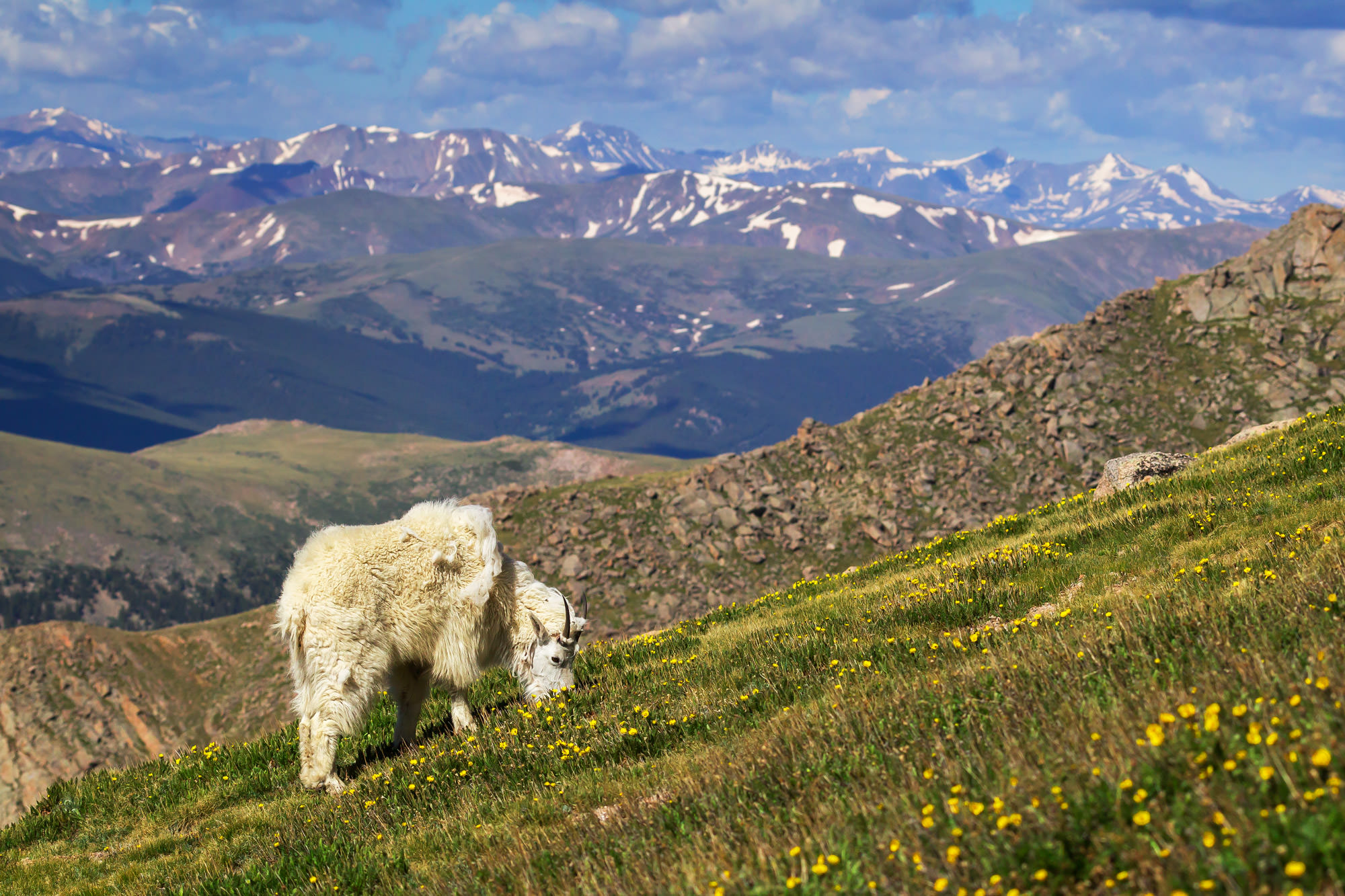 Goat, Mountain Goat, Colorado, Mount Evans, limited edition, photograph, fine art, wildlife, photo