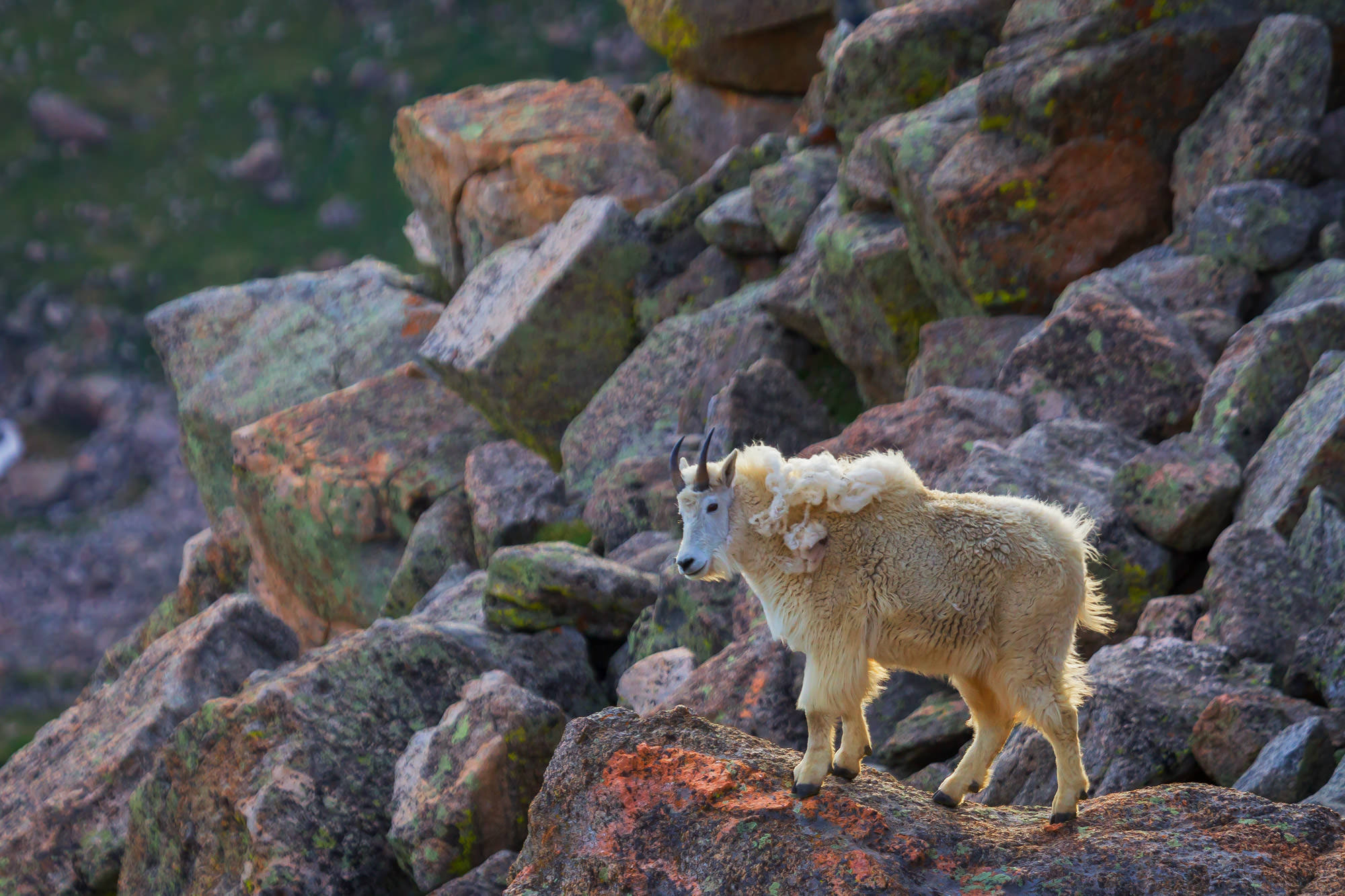 Mountain Goat Fine Art Photography A Limited Edition photograph of a Mountain Goat looking for the way down from the rocks at...