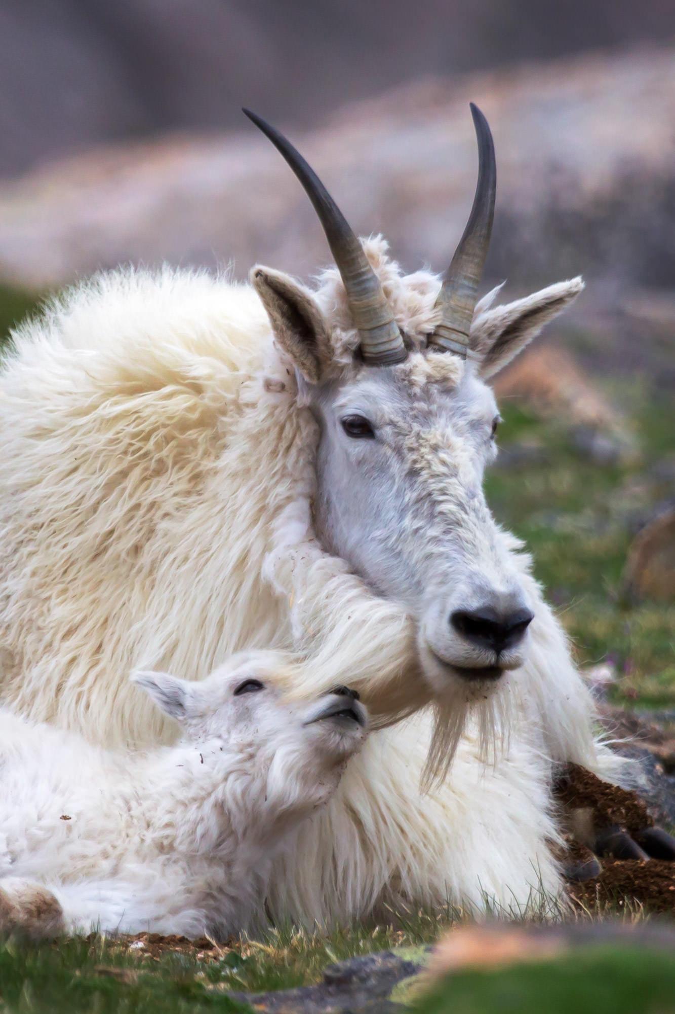 Goat, Mountain Goat, Colorado, Mount Evans, limited edition, photograph, fine art, wildlife, photo