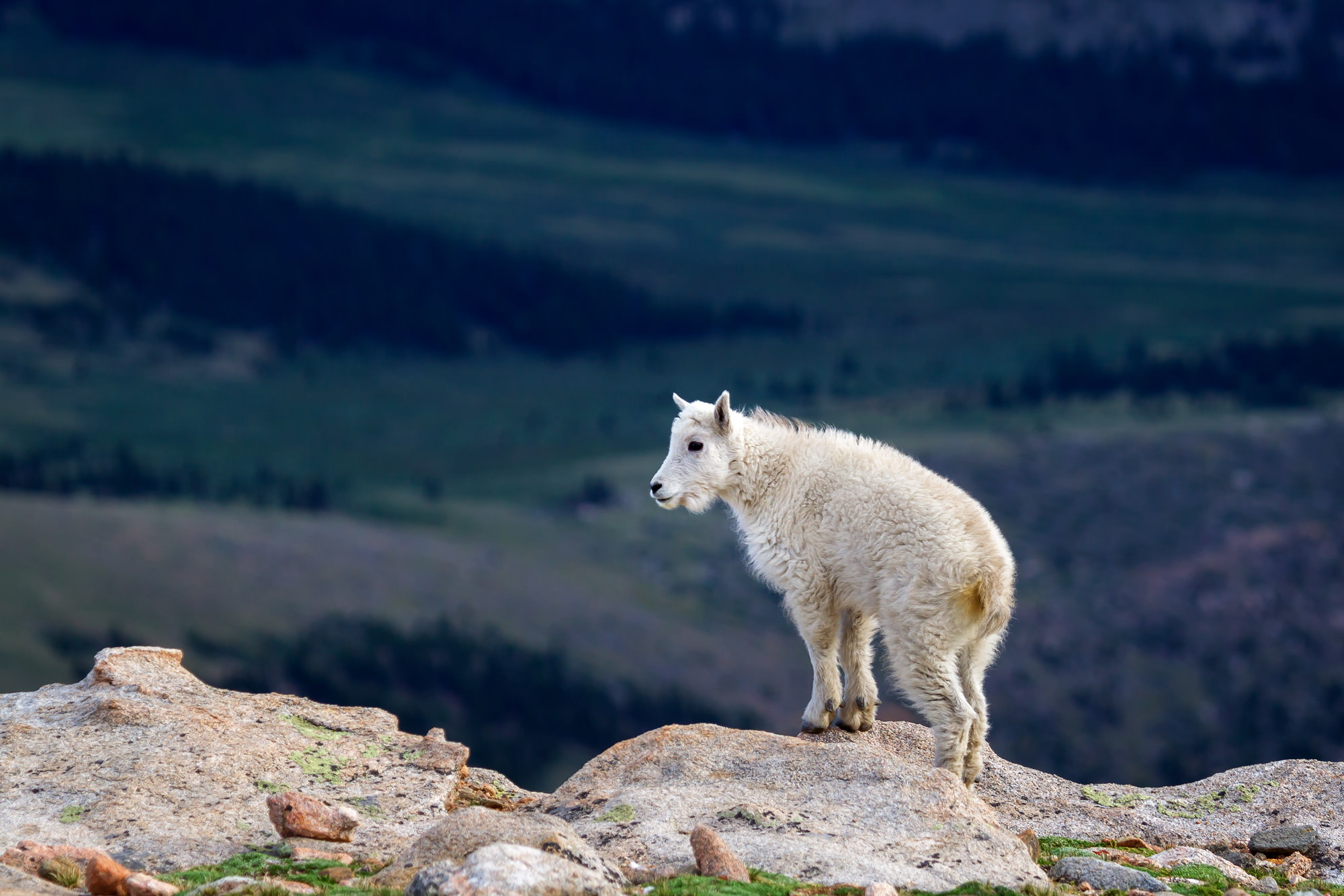 Mountain Goat Fine Art Photography A Limited Edition photograph of a Mountain Goat billy standing on the edge of a cliff at Mount...