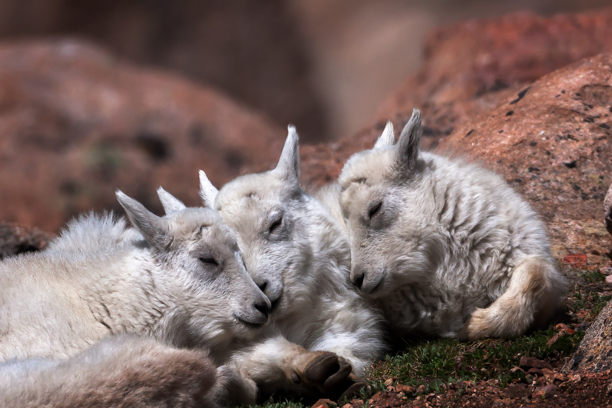 Mountain Goat Fine Art Photography A Limited Edition photograph of three baby Mountain Goats taking a nap together at Mount Evans...