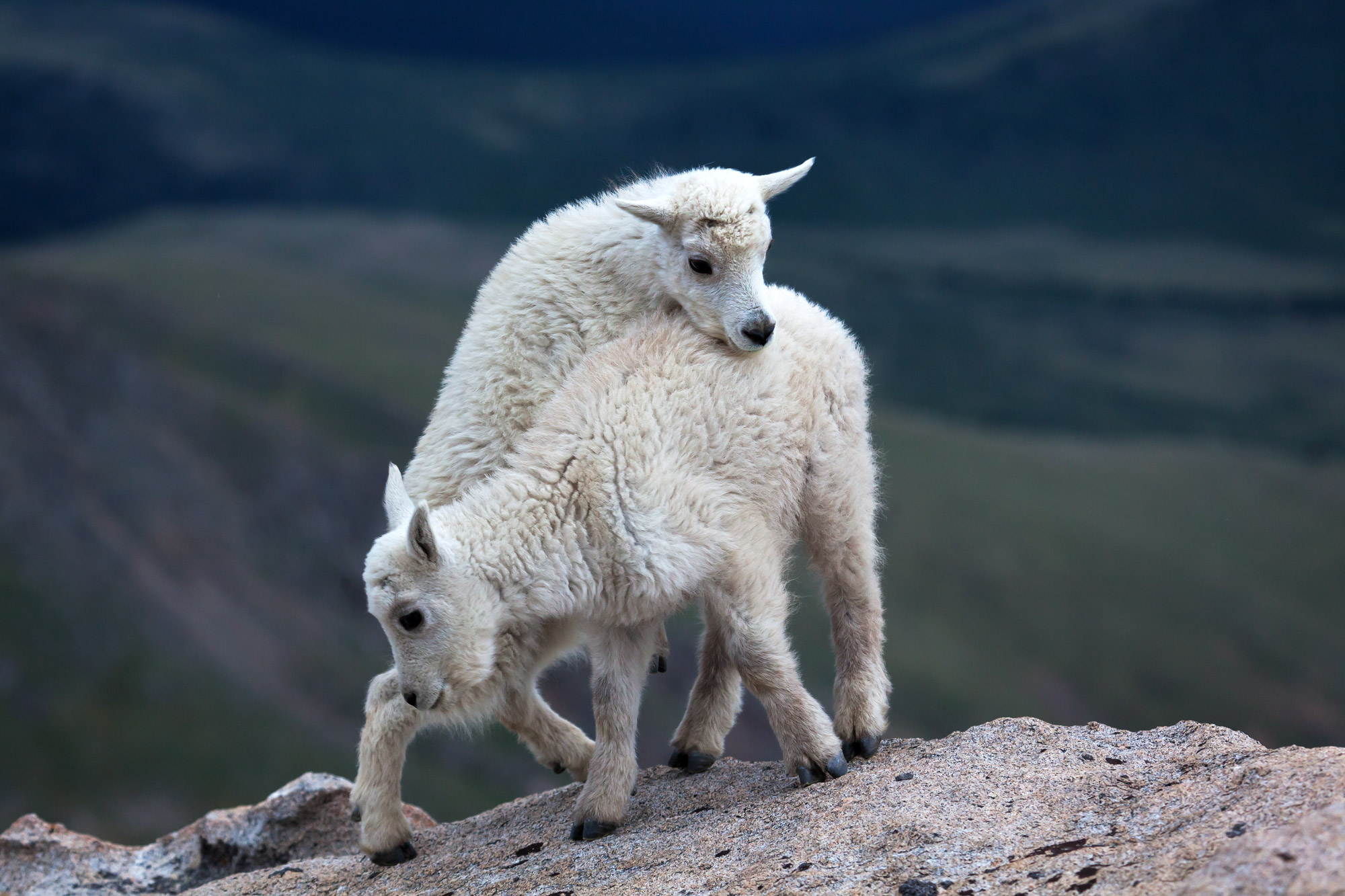 Mountain Goat Fine Art Photography A Limited Edition photograph of two Mountain Goat billies playing on the edge of a cliff at...
