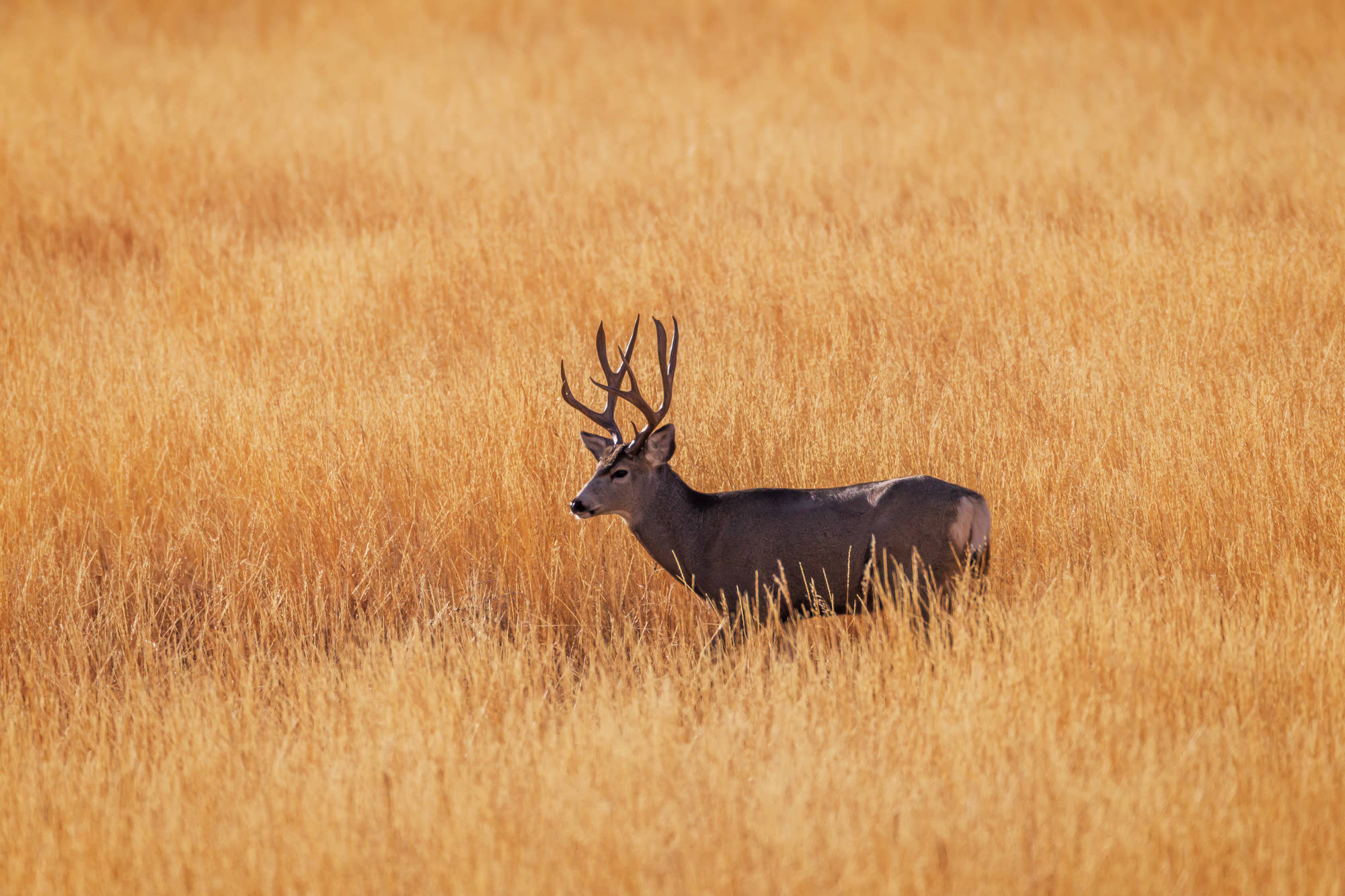 Deer, Mule Deer, Buck, Wyoming, Whiskey Mountain, limited edition, photograph, fine art, wildlife, photo