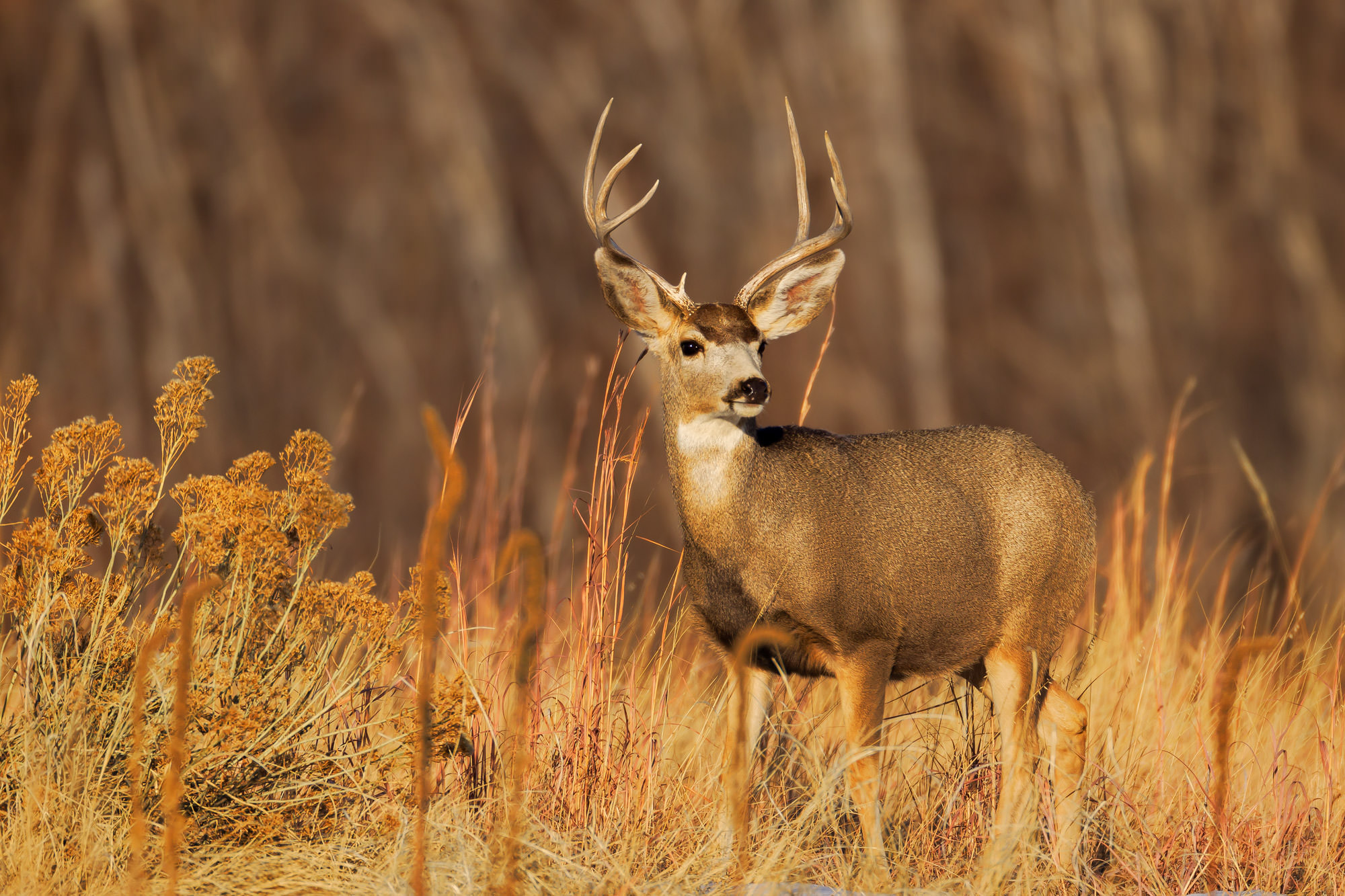 Mule Deer Fine Art Photography A Limited Edition photograph of a young Mule Deer buck framed by the golden grass color at Rocky...