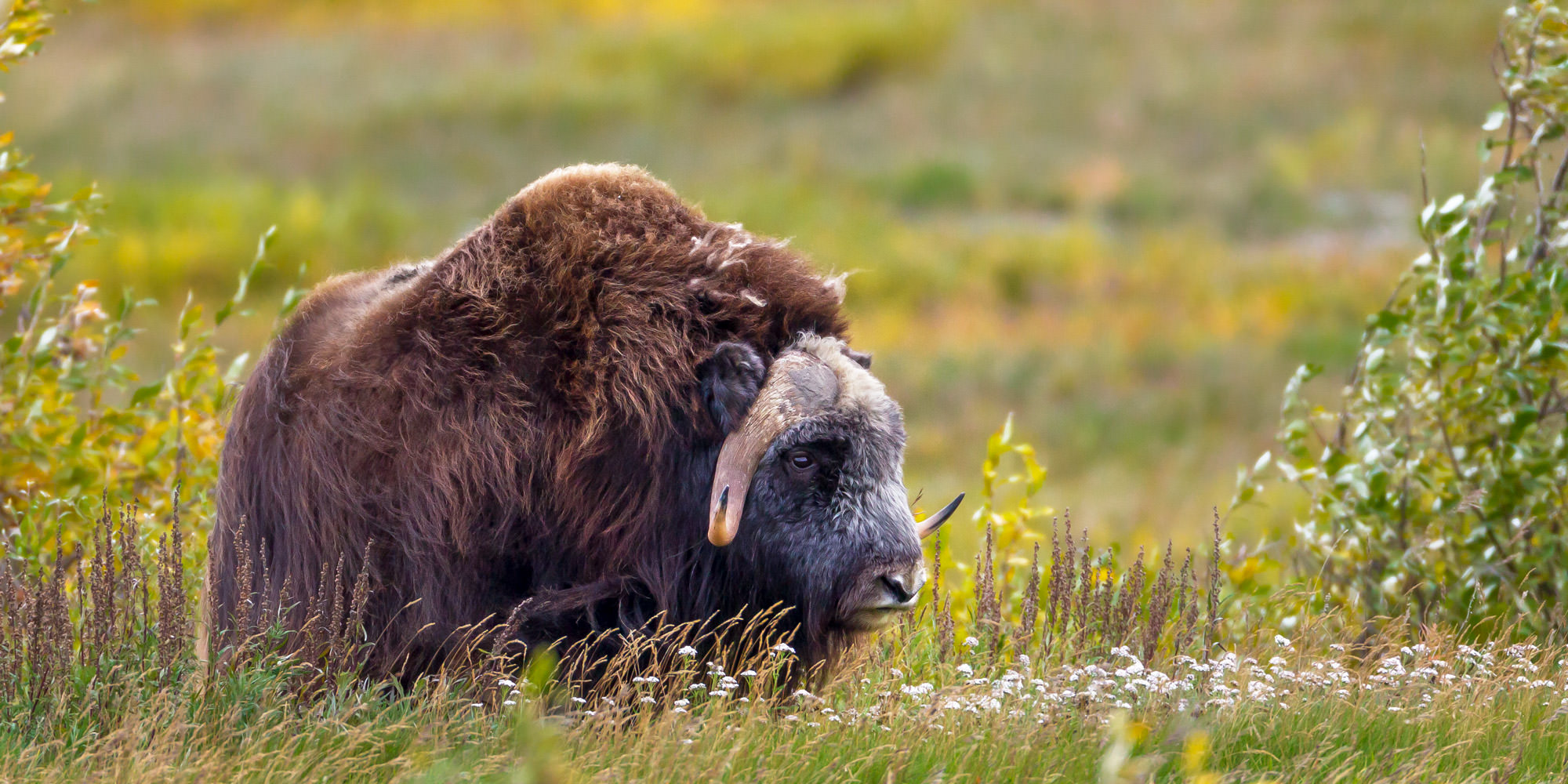 Musk Ox Fine Art Photography A Limited Edition photograph of a Musk Ox in the wind letting the fur fly with Spring flowers at...