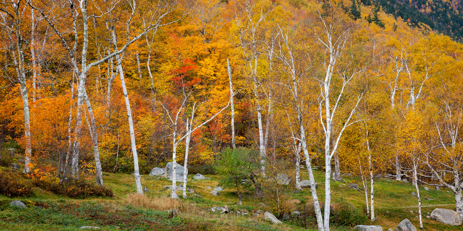 A Limited Edition, Fine Art photograph of New England Fall Color with white trees with brilliant orange and red fall colors at...