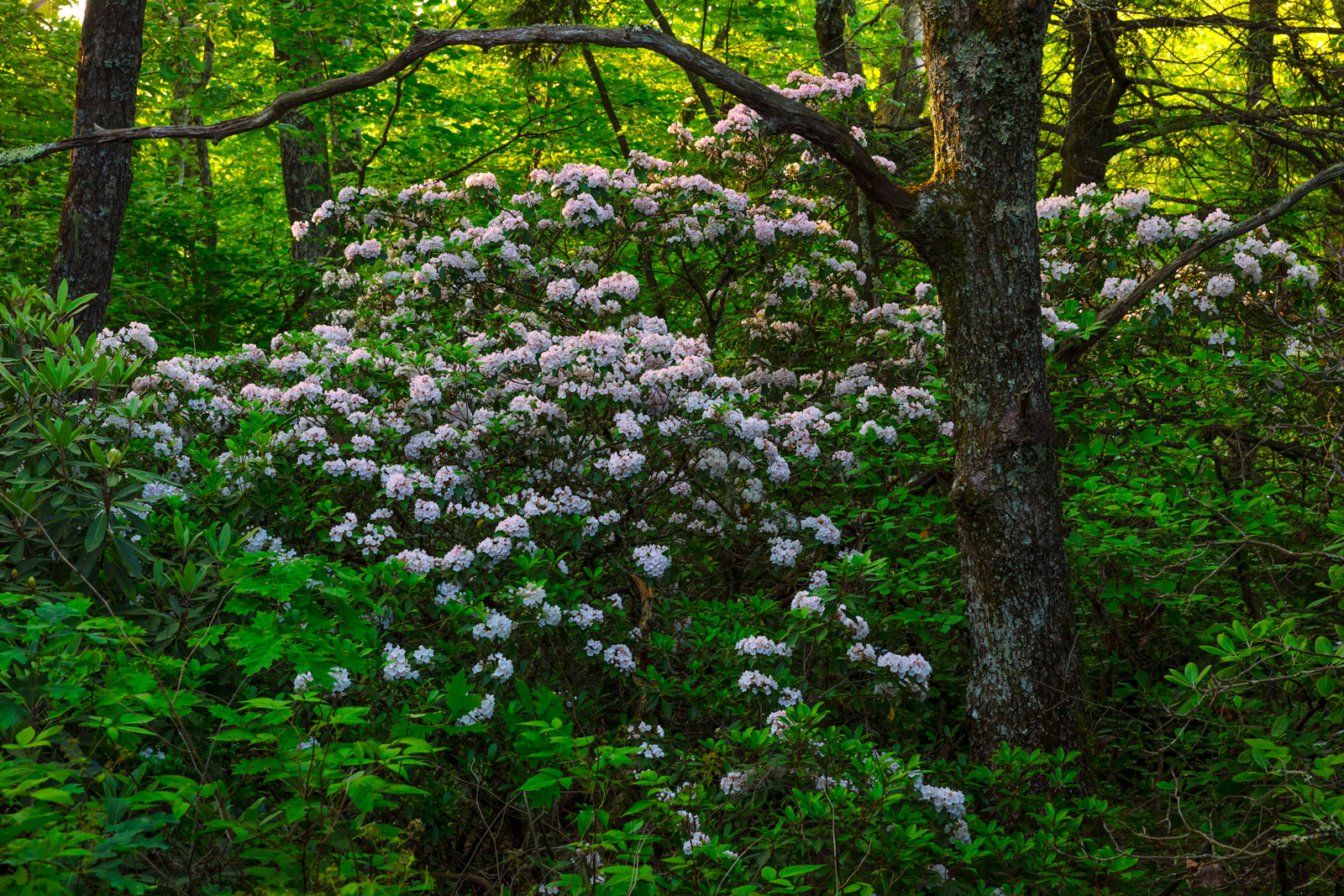 rhoddodendrons in forest in north carolina