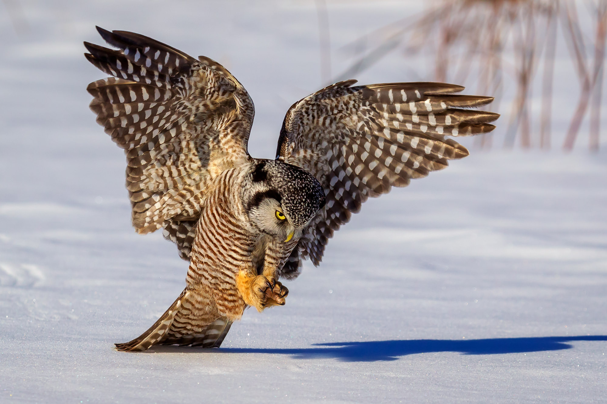 Owl, Hawk Owl, Northern Hawk Owl, Canada, photo