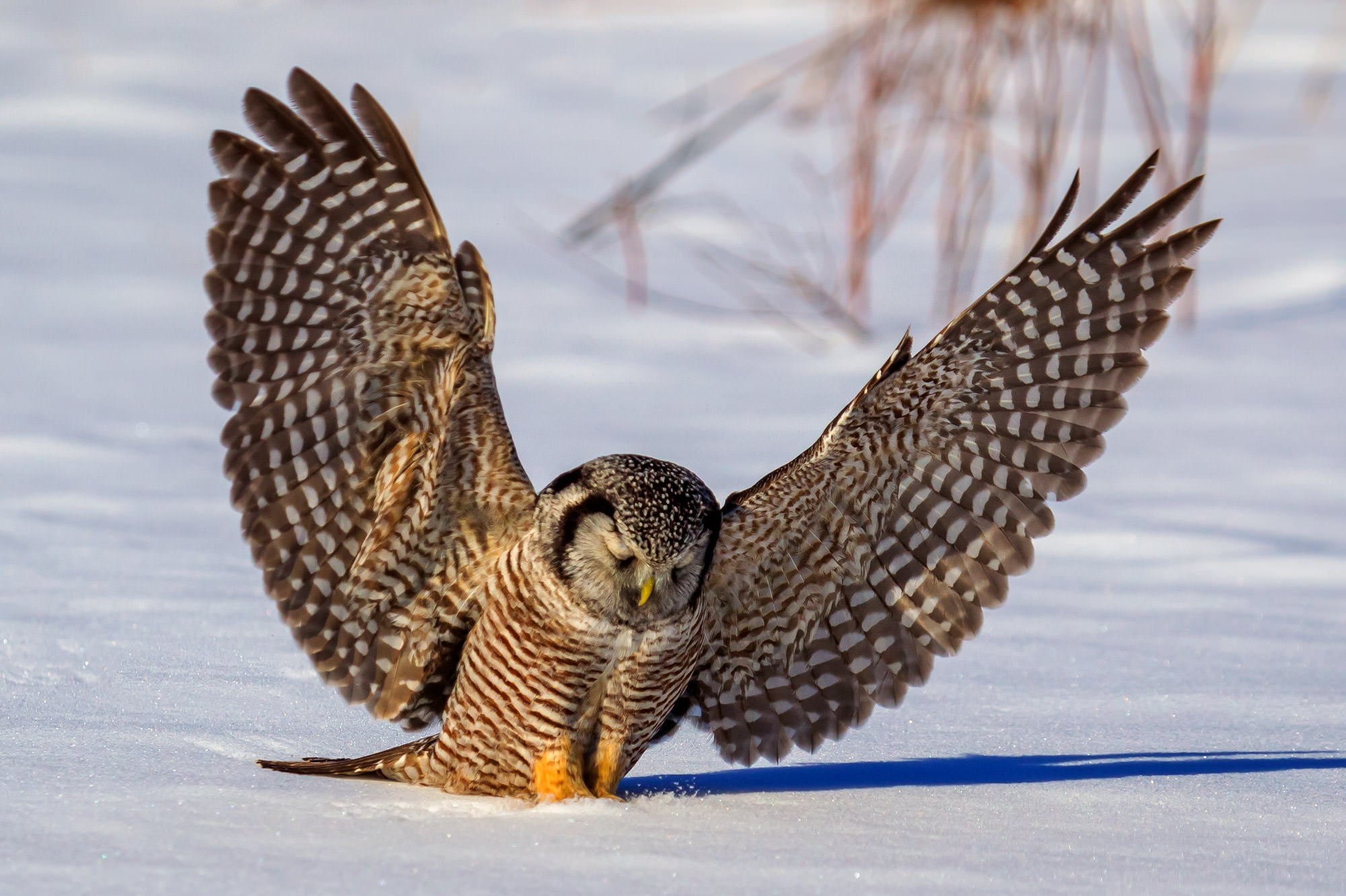 Owl, Hawk Owl, Northern Hawk Owl, Canada, photo