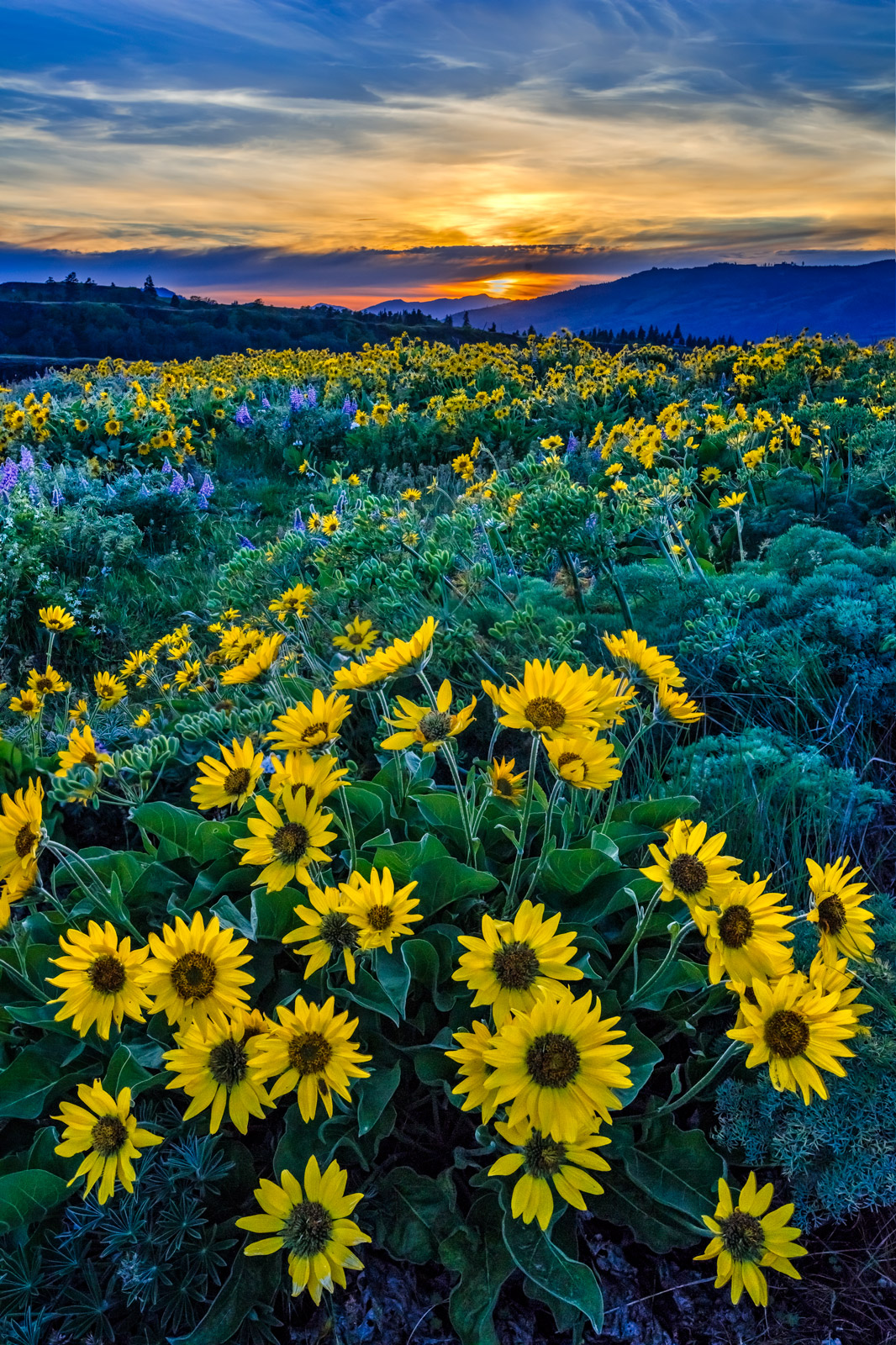 Oregon, Rowena Crest, Columbia River,  Gorge, flower, sunset