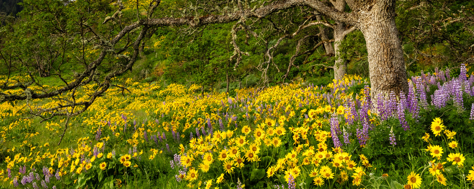 Oregon, Rowena Crest, Columbia Gorge, flower