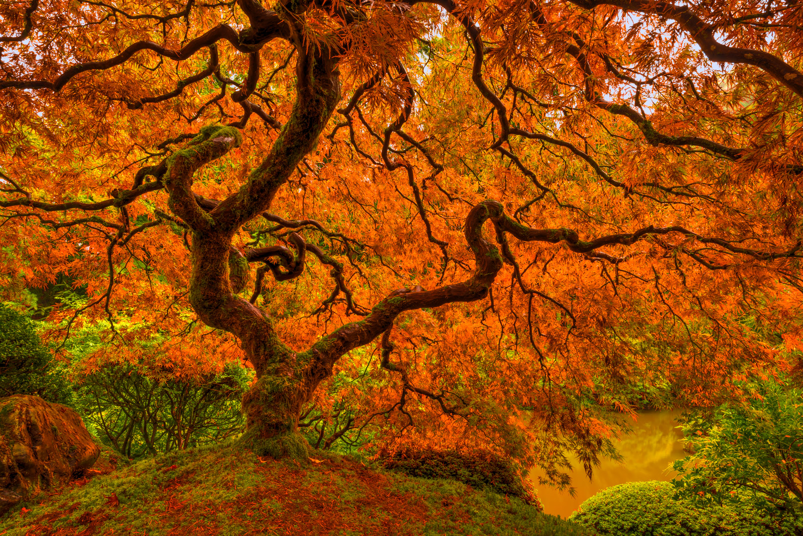 Oregon, Portland, Maple, Tree, Fall, Color
