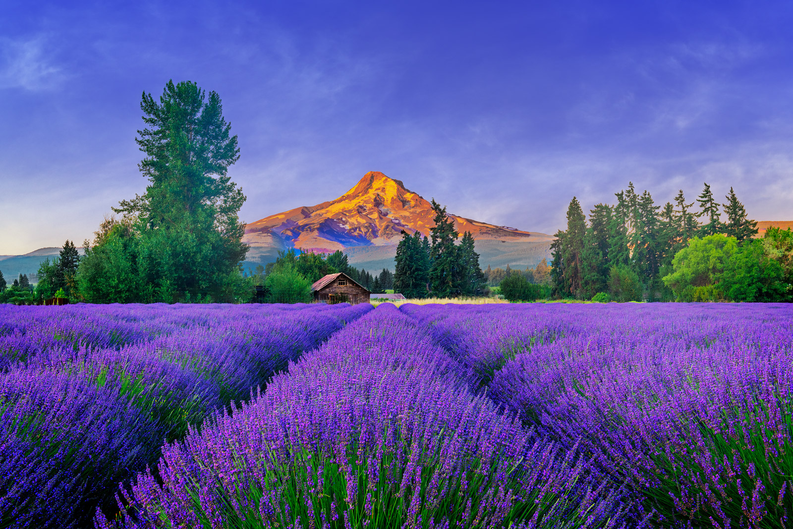A Limited Edition, Fine Art photograph of brilliant purple lavender in bloom in front of Mount Hood in Oregon at sunrise.  Available...