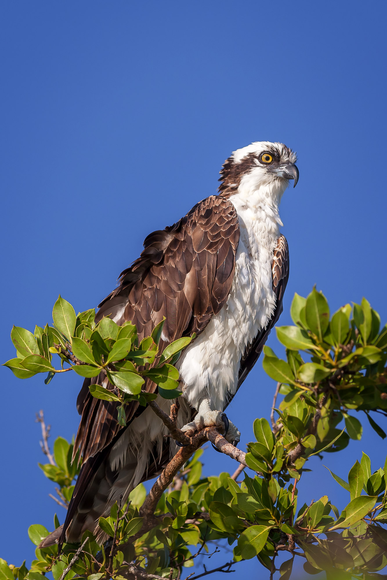 Osprey, Florida, limited edition, photograph, fine art, wildlife, photo