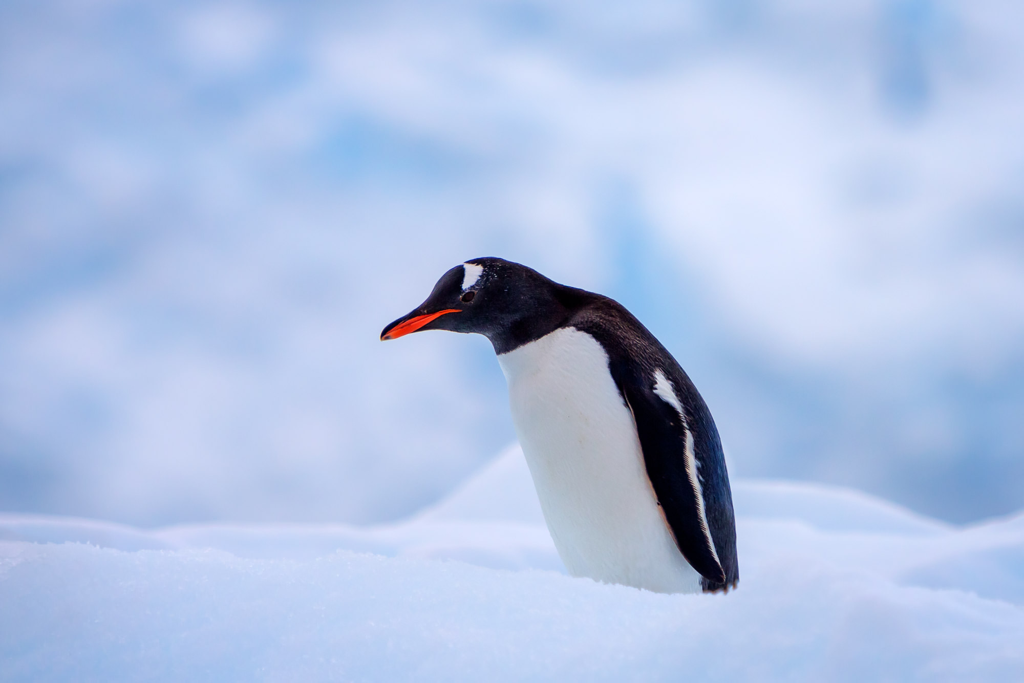 Penguin, Antarctica, Gentoo, limited edition, photograph, fine art, wildlife, photo