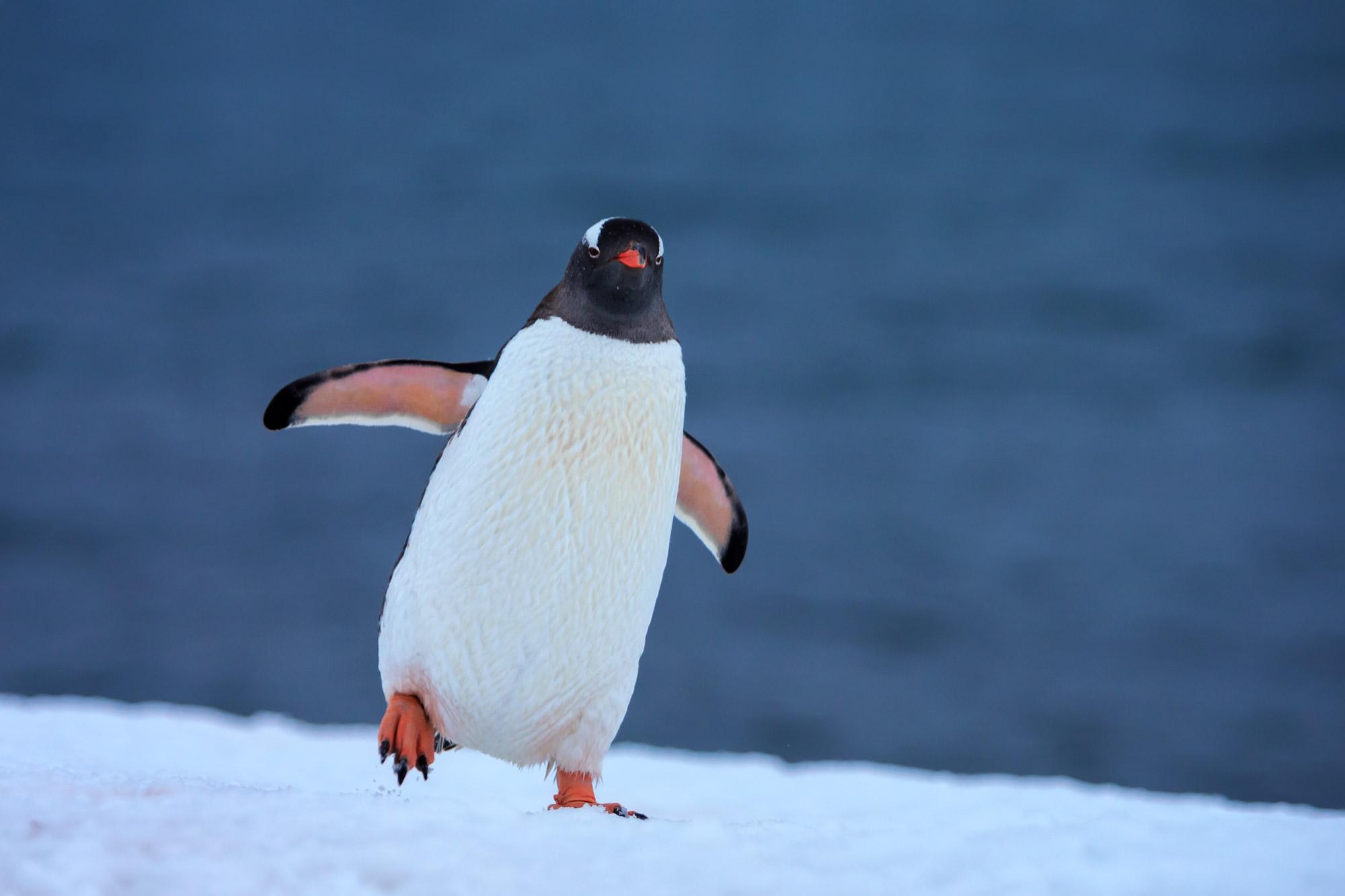 Penguin, Antarctica, photo
