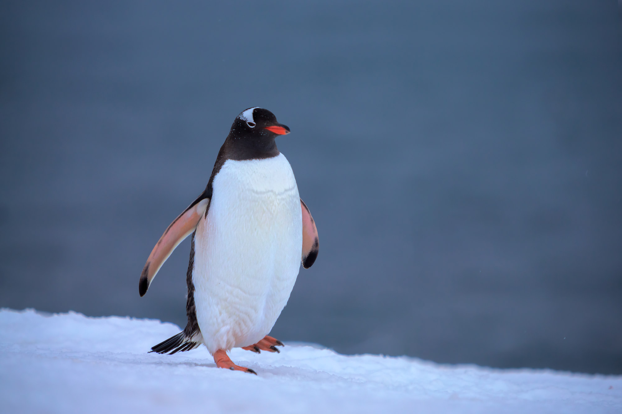 Penguin Fine Art Photography A Limited Edition photograph of a Gentoo Penguin doing some high stepping in the deep snow in Antarctica...