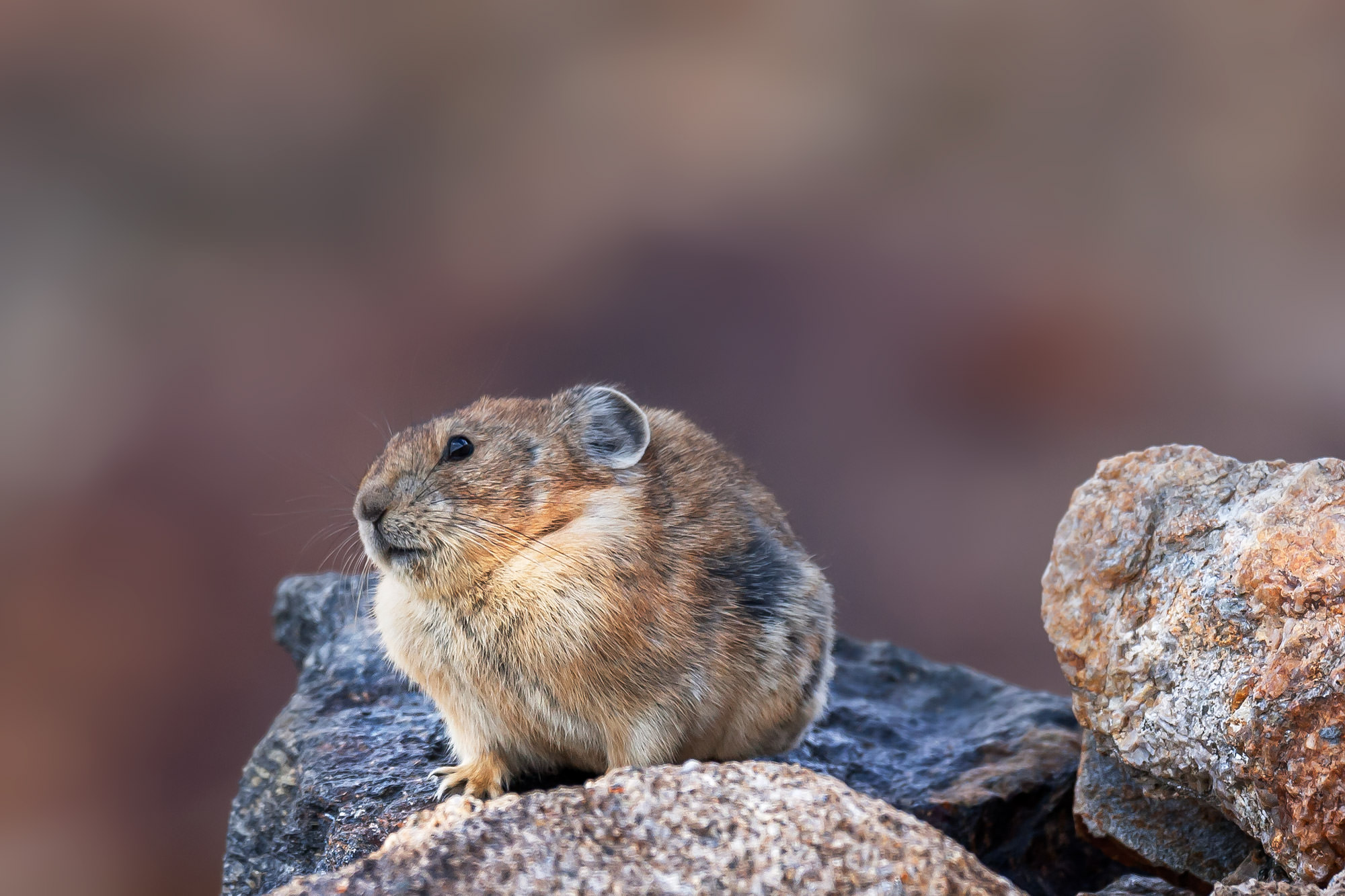 Pika, Colorado, Rocky Mountain, photo