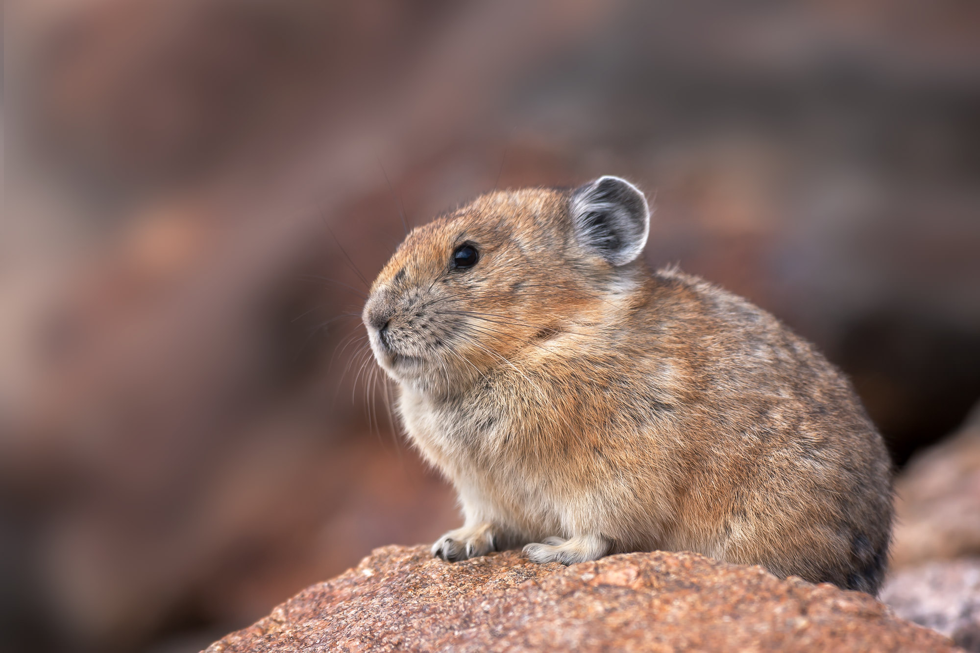 Pika Fine Art Photography A Limited Edition photograph of a Pika on a rock that is just too cute at Rocky Mountain National Park...