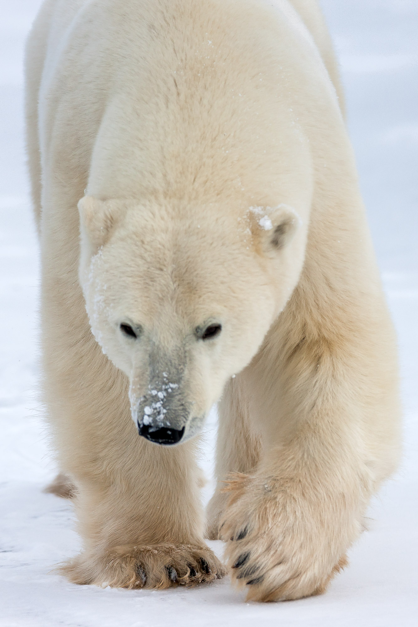 Bear, Polar Bear, Churchill, Manitoba, limited edition, photograph. fine art, wildlife, photo