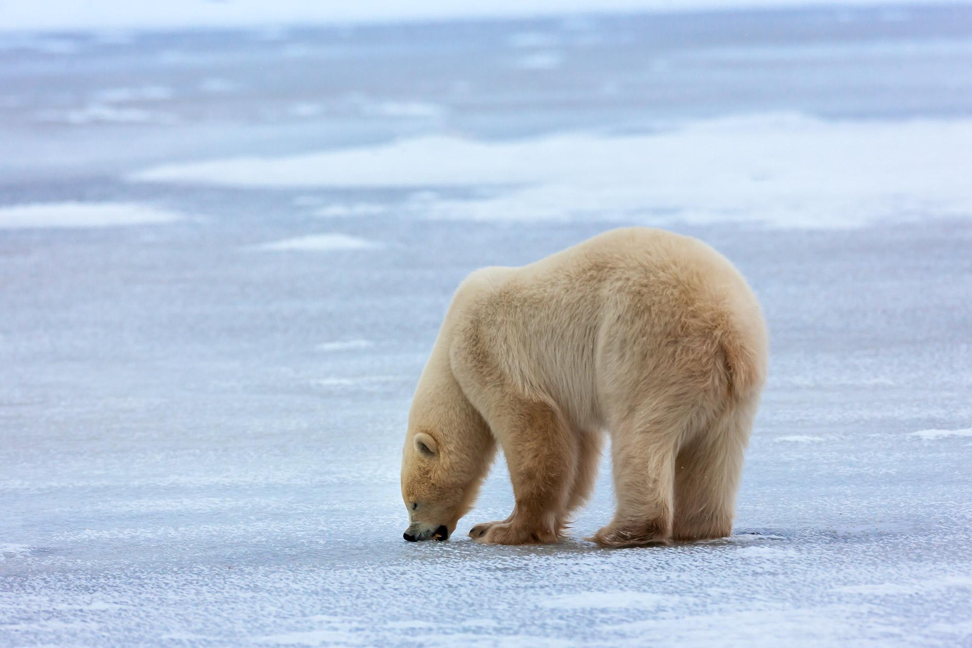 Bear, Polar Bear, Churchill, Manitoba, limited edition, photograph. fine art, wildlife, photo