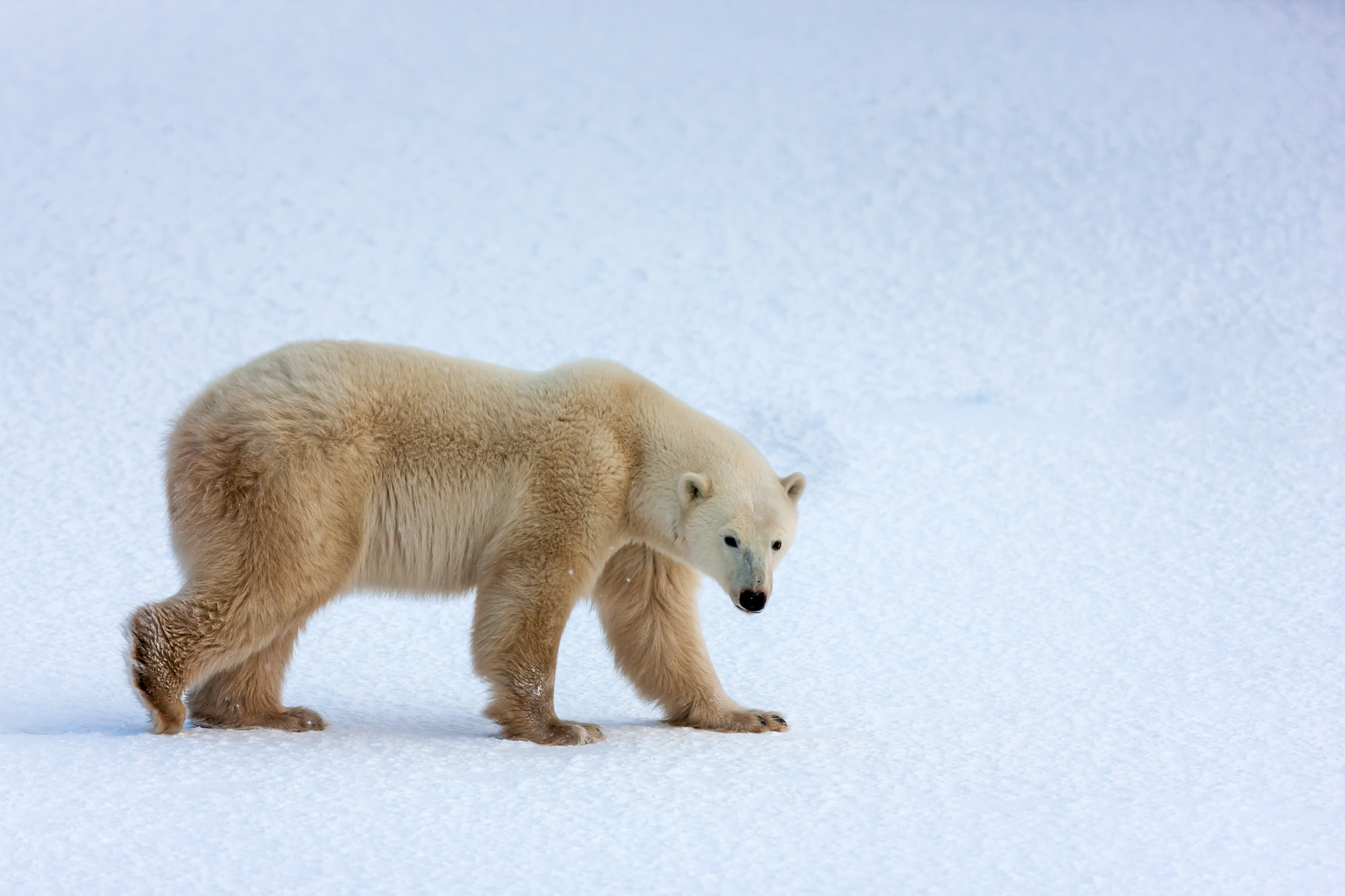 Polar Bear Fine Art Photography A Limited Edition photograph of a Polar Bear making a long walk on the snow in Churchill, Manitoba...