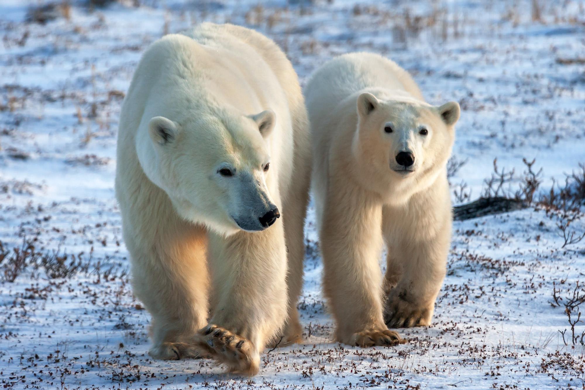 Bear, Polar Bear, Canada, Churchill, Manitoba, photo