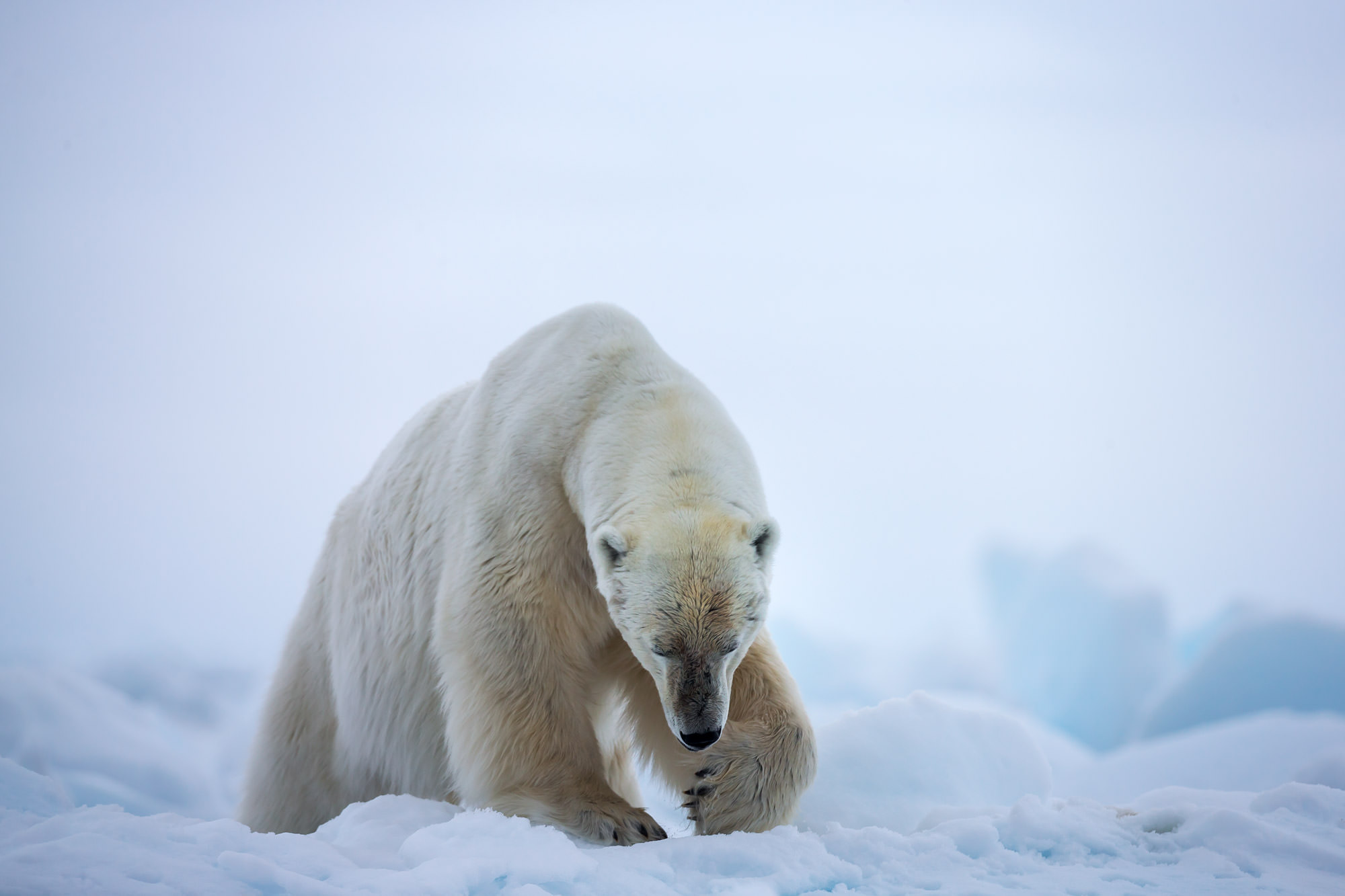 Bear, Polar Bear, Norway, Spitsbergen, limited edition, photograph. fine art, wildlife, photo