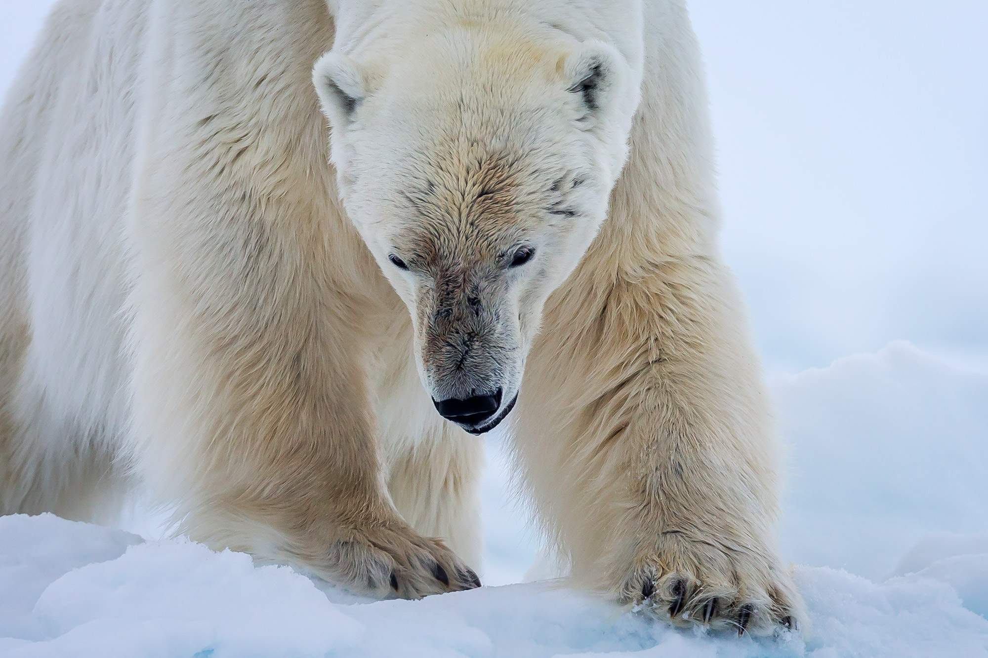 Polar Bear Fine Art Photography A Limited Edition photograph of a closeup of the big paws on a big Polar Bear in Spitsbergen...