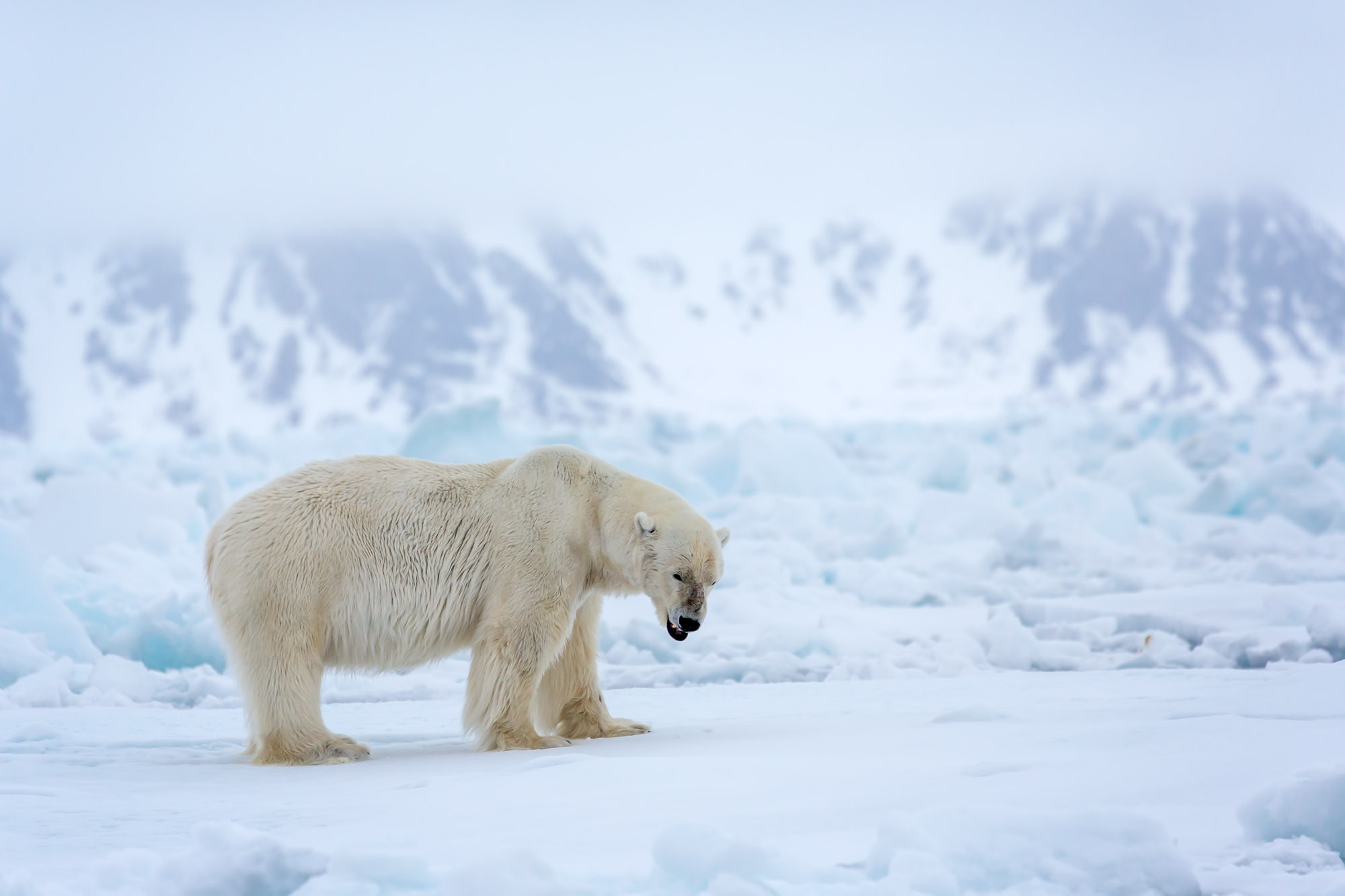 Polar Bear Fine Art Photography A Limited Edition photograph of a large Polar Bear taking a pause while one the ice at Spitsbergen...