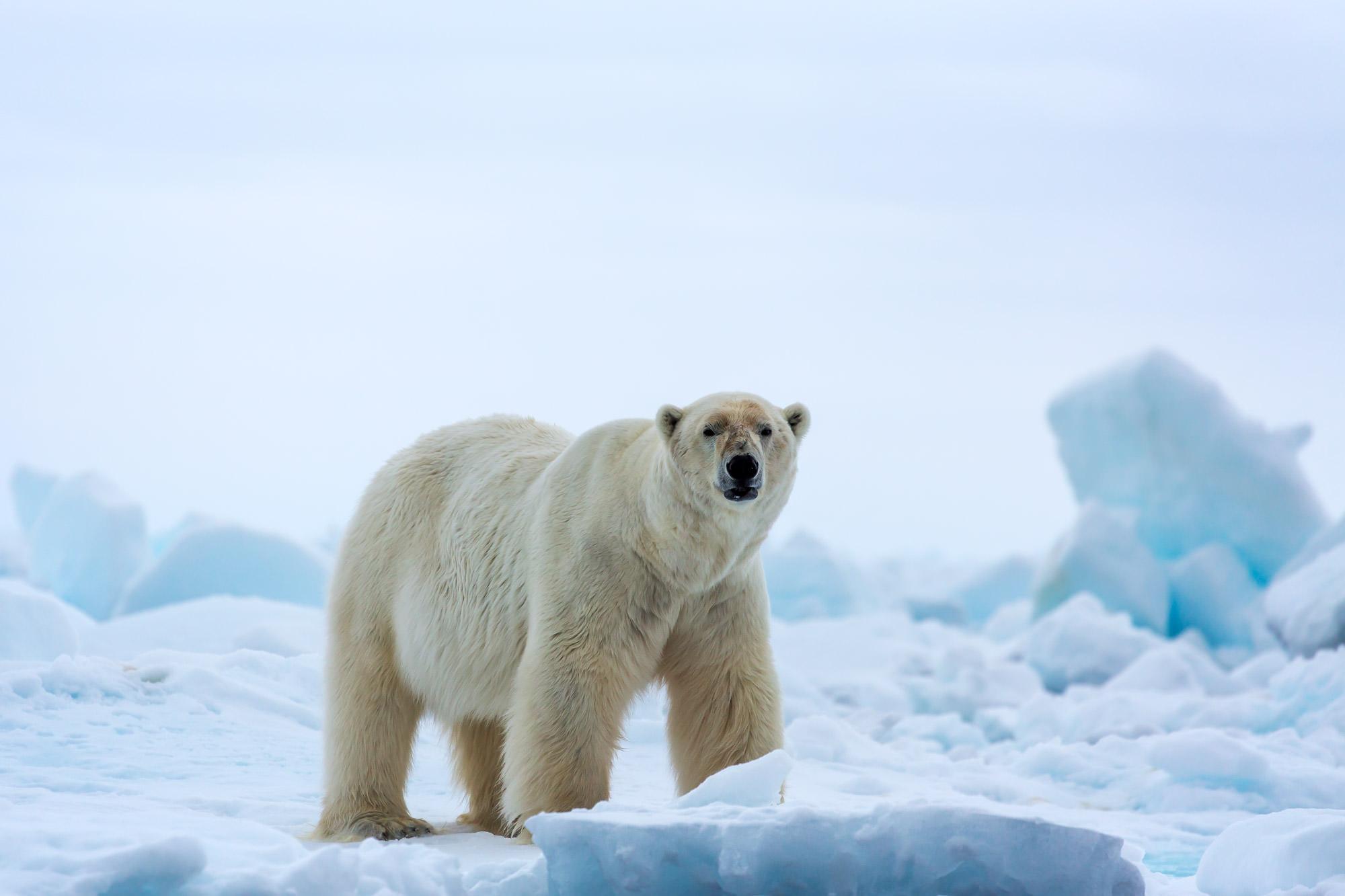 Polar Bear Fine Art Photography A Limited Edition photograph of a Polar Bear on the ice in the early morning in Spitsbergen...