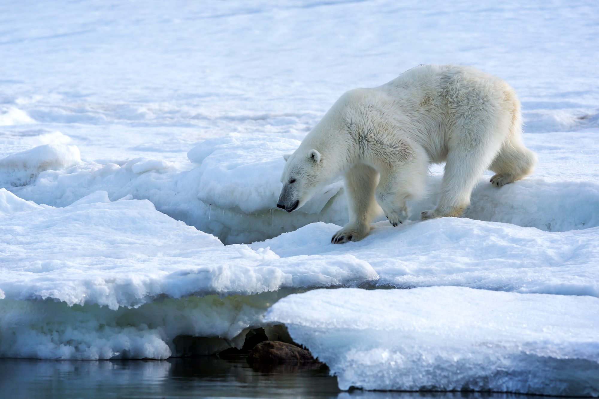 Polar Bear Fine Art Photography A Limited Edition photograph of a Polar Bear walking down to the water on the ice in Spitsbergen...