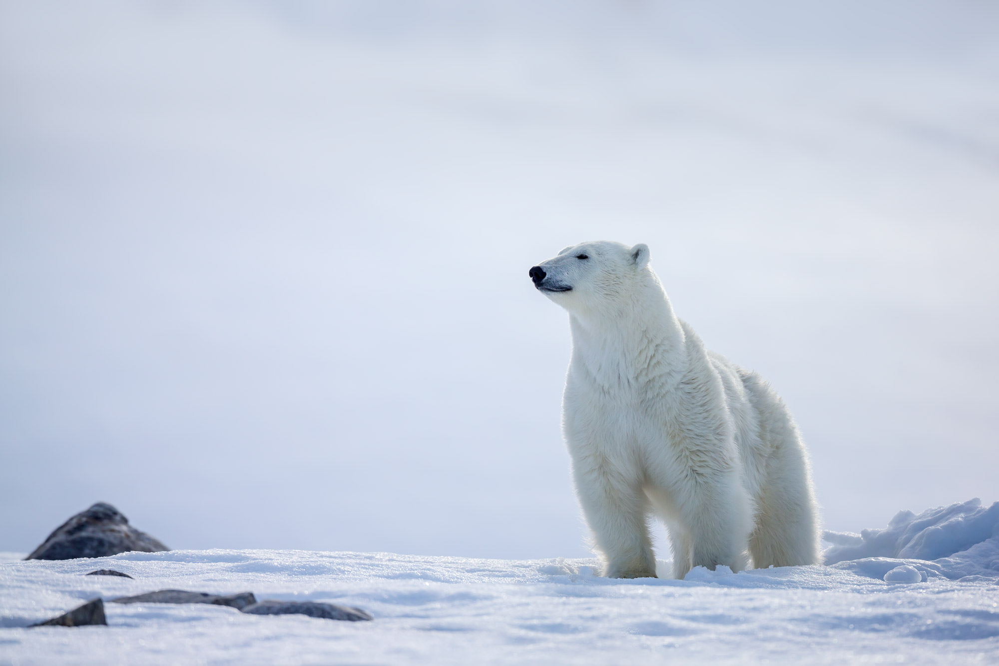 Polar Bear Fine Art Photography A Limited Edition photograph of a Polar Bear standing as the Pride of the Arctic in Spitsbergen...