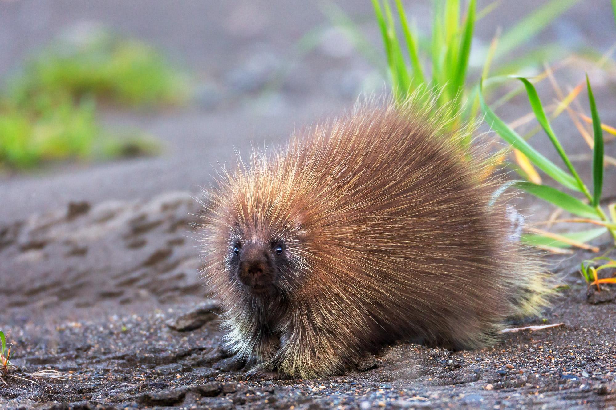 Porcupine, Alaska, photo