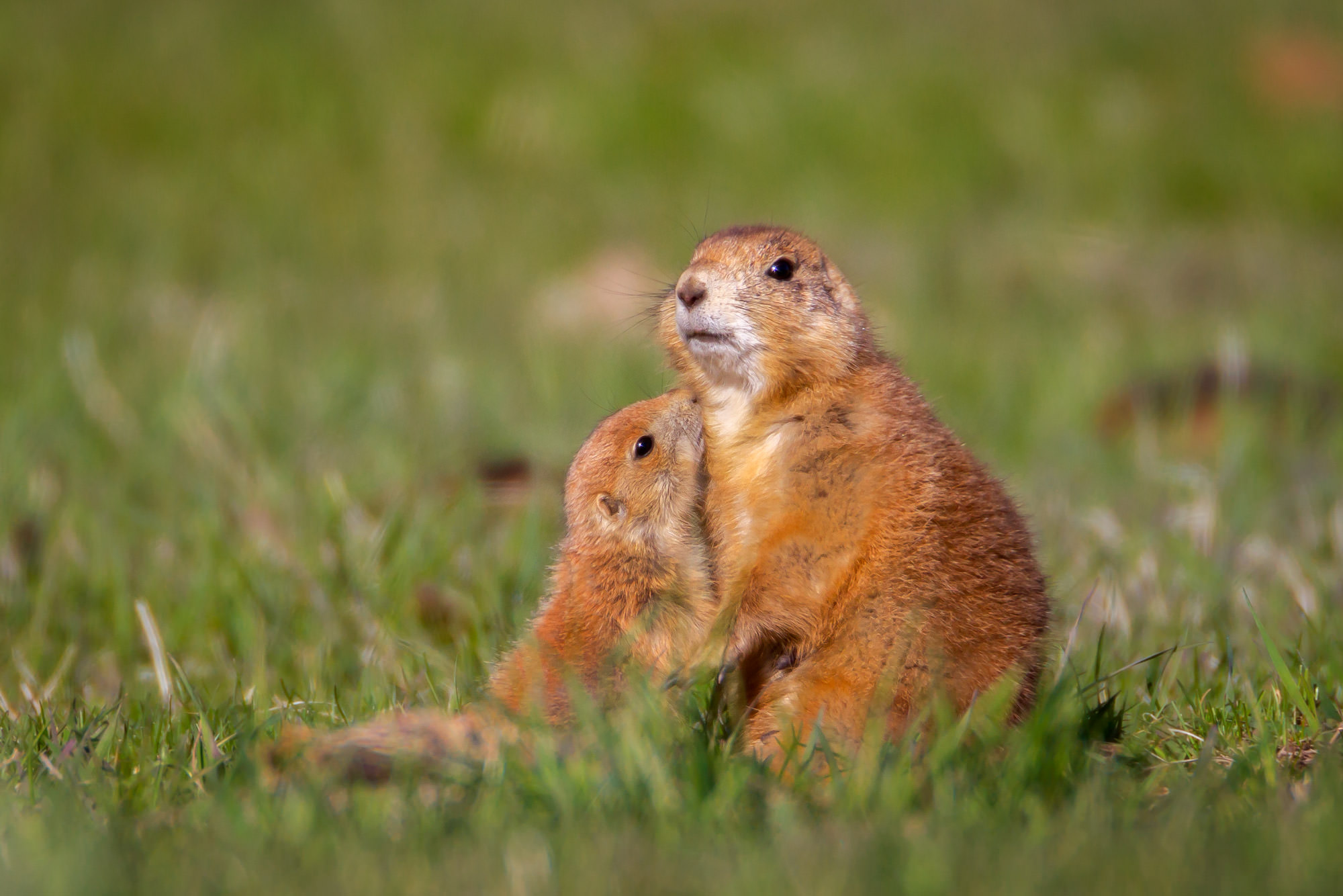 Prairie Dog, South Dakota, photo