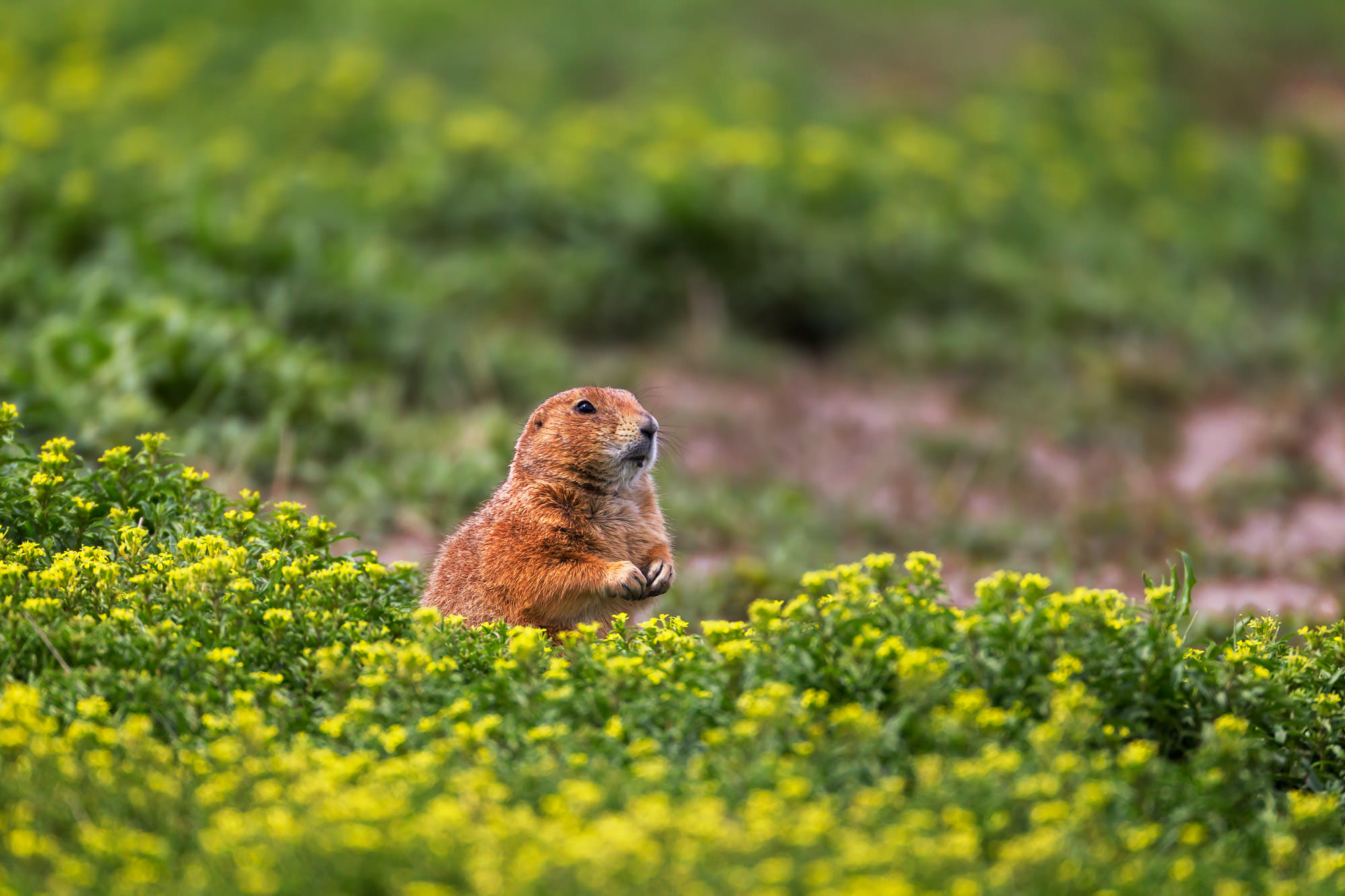 Prairie Dog, South Dakota, photo